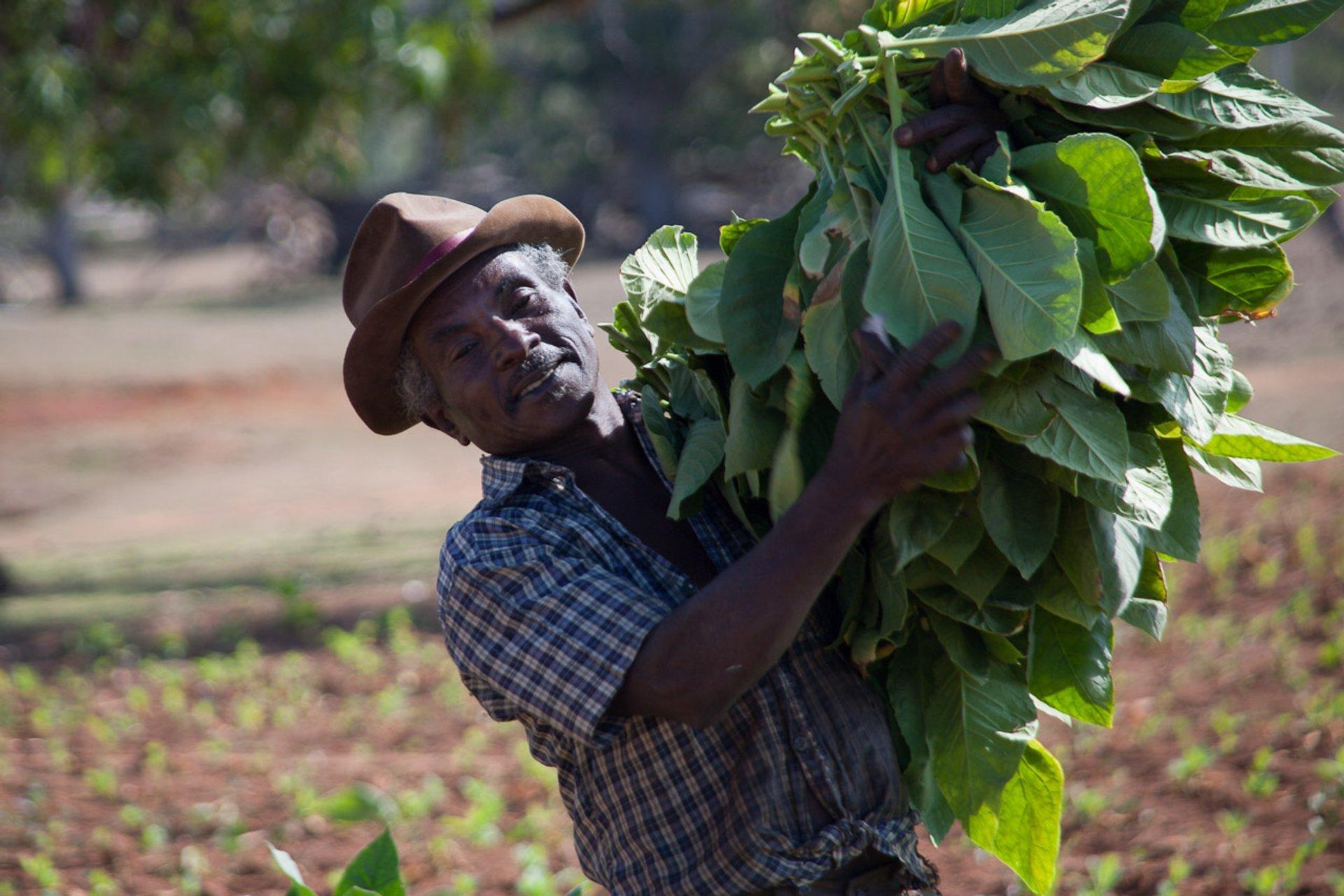 Tobacco harvester near Puerto Esperanza, Vinales, Cuba 2020