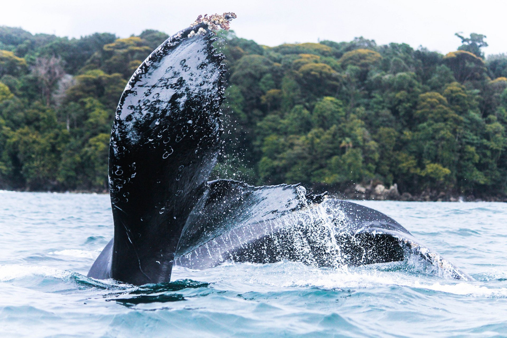 Humpback Whales in Colombia - Best Season 2020