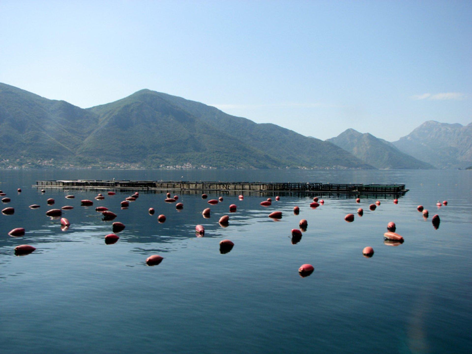 Mussels Season in Montenegro - Best Season 2020