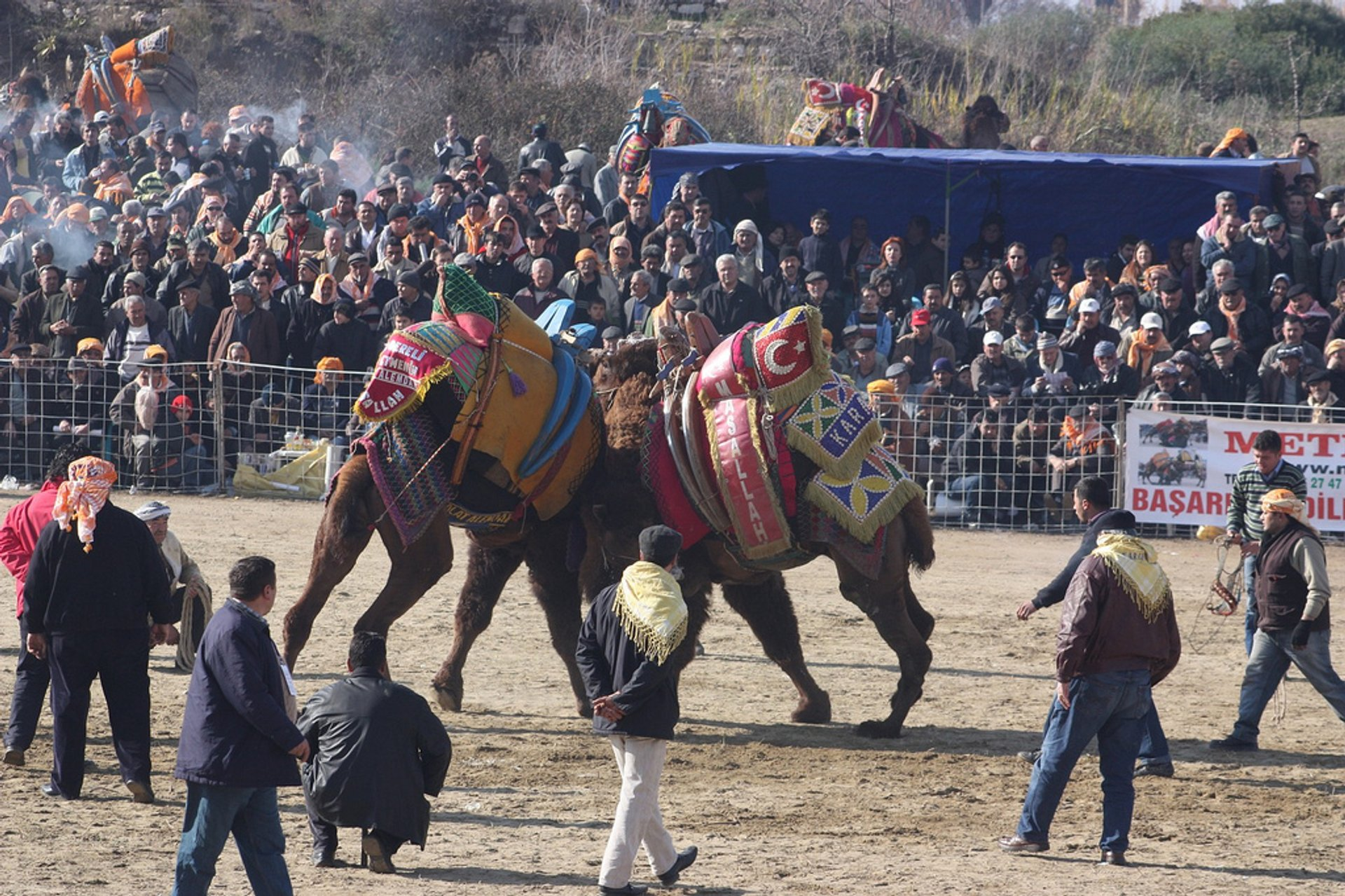 Best time for Camel Wrestling in Turkey
