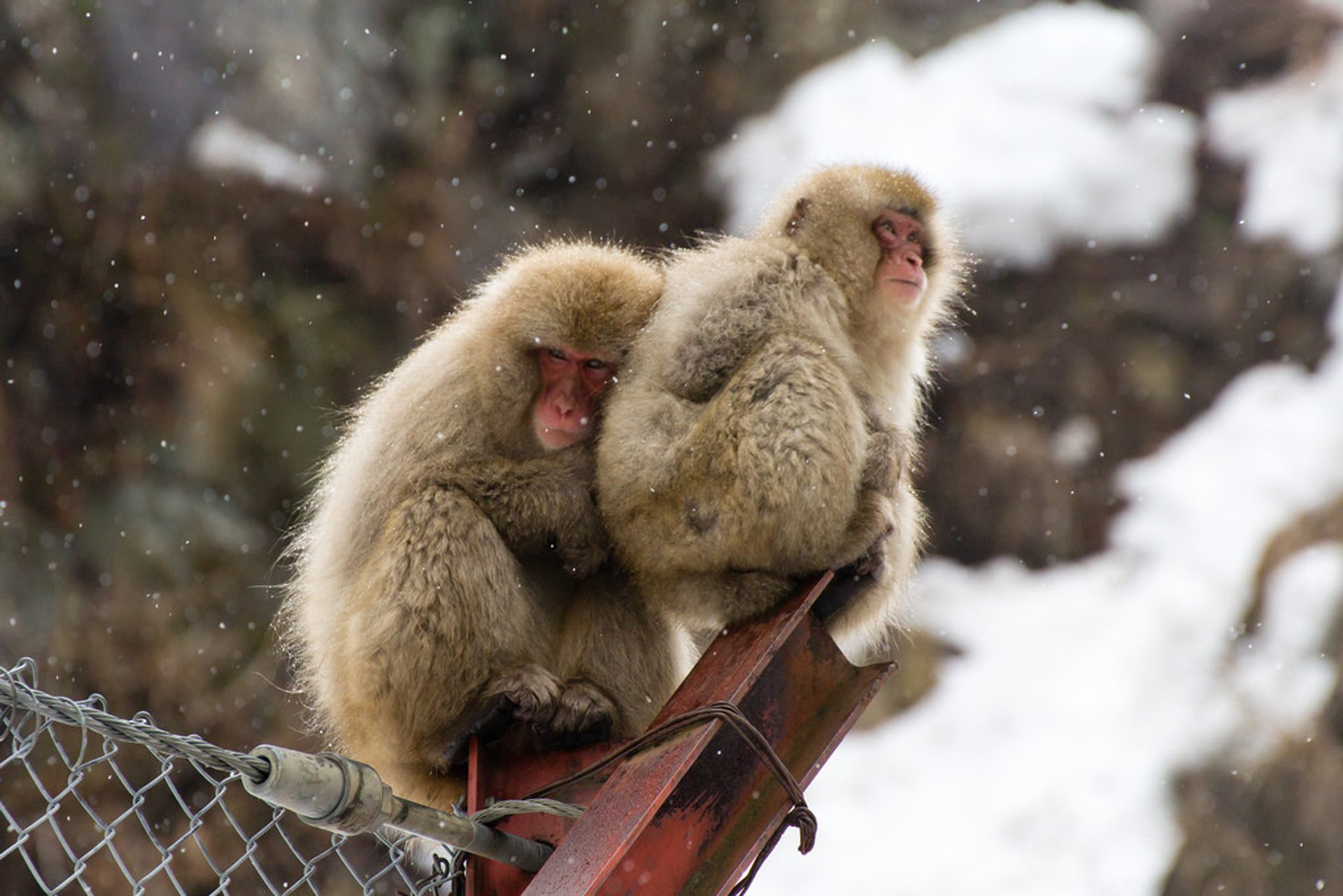 Snow Monkeys in Japan - Best Season 2020