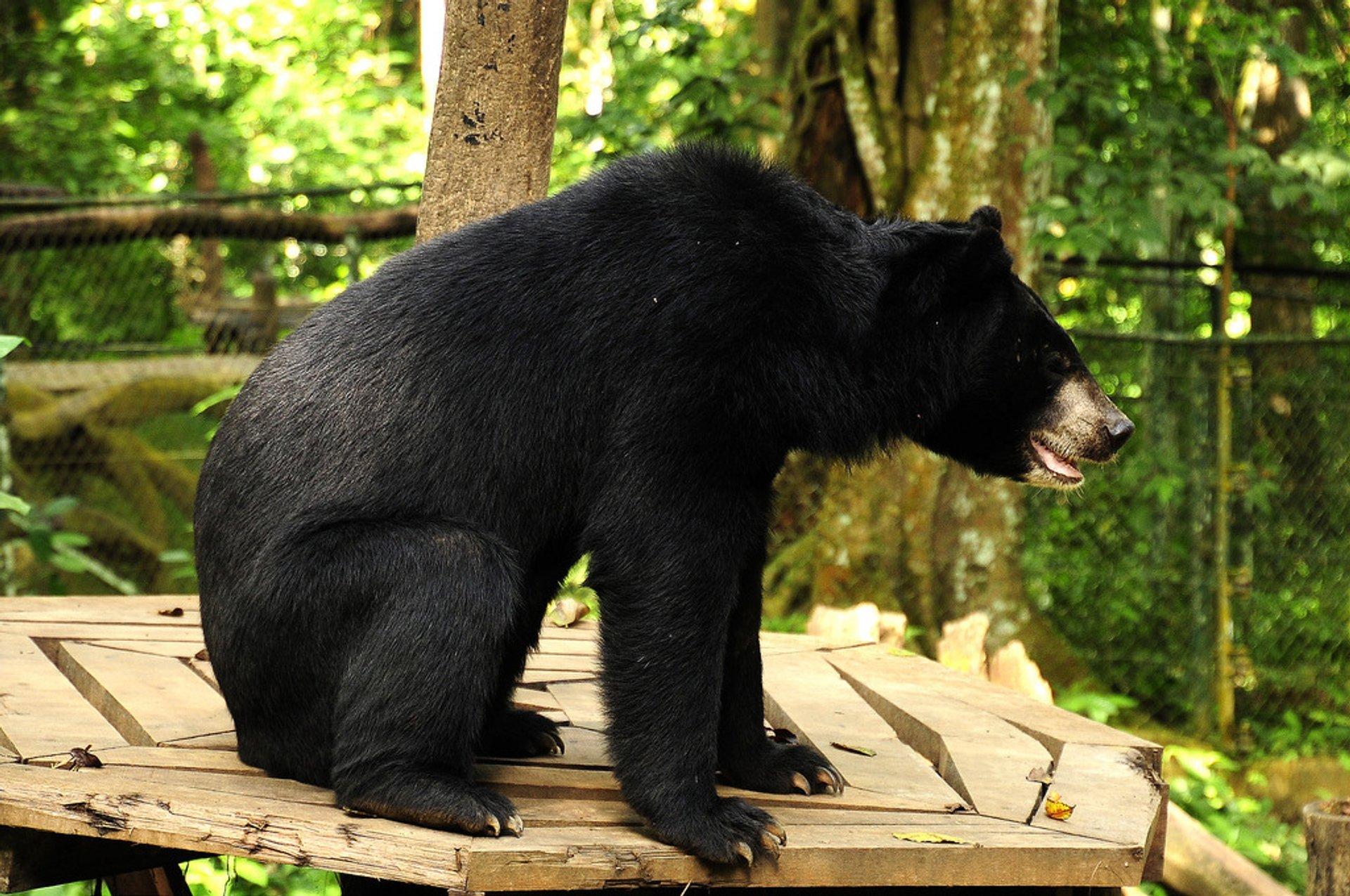 Asian Black Bear in Laos - Best Season 2020