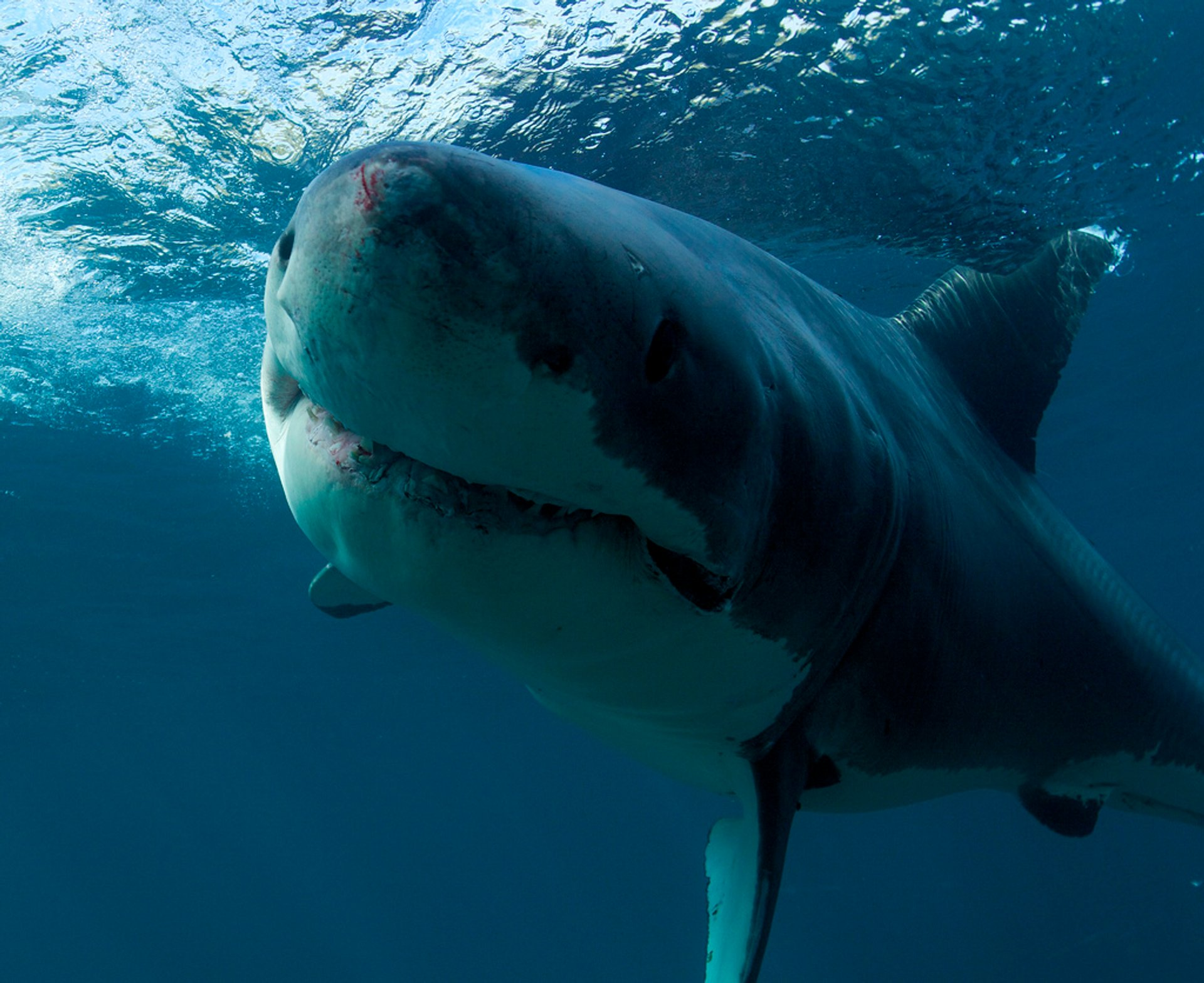 Great White Shark Cage Diving in New Zealand - Best Season 2020