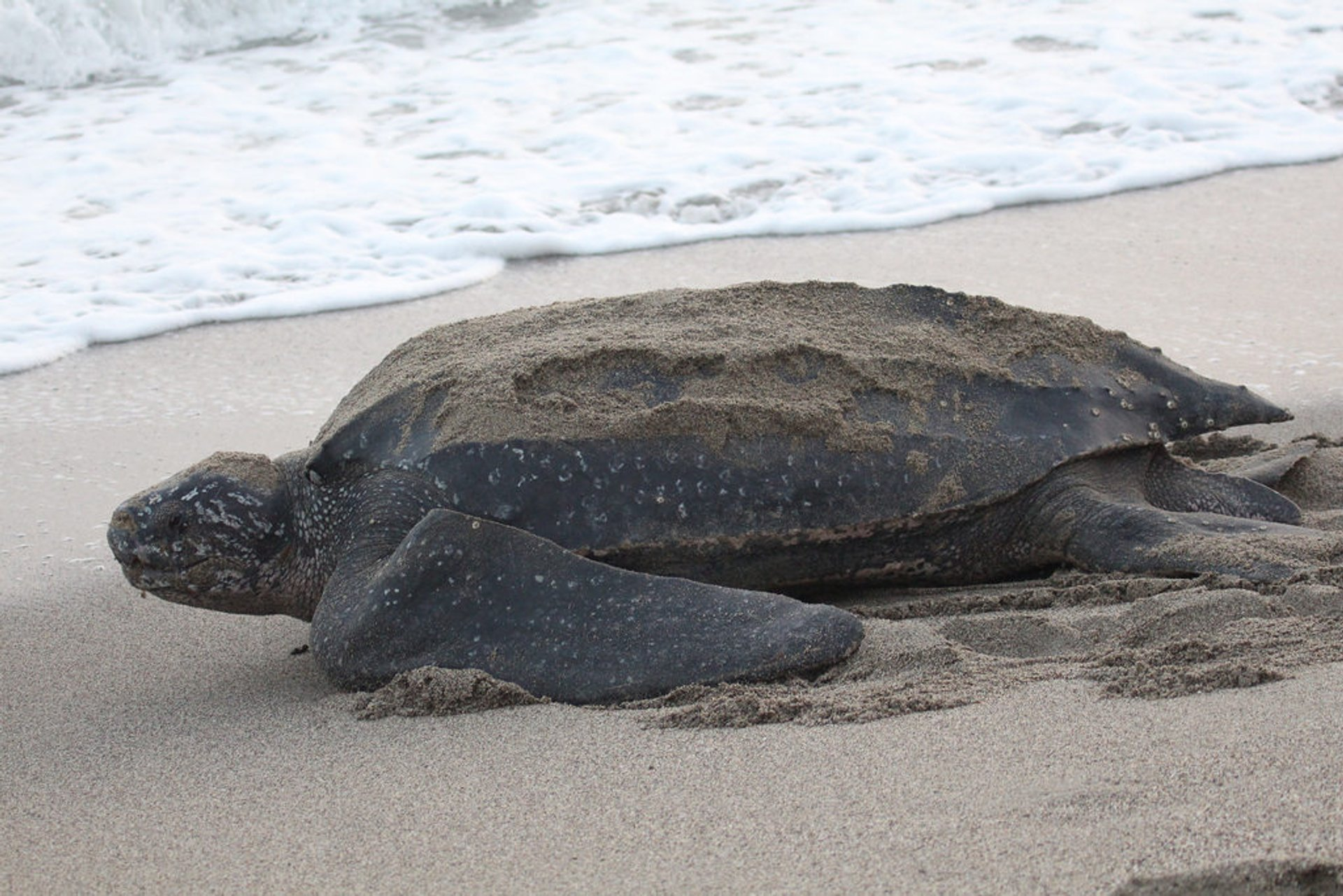 Leatherback Turtles on the Pacific in Costa Rica - Best Season 2020
