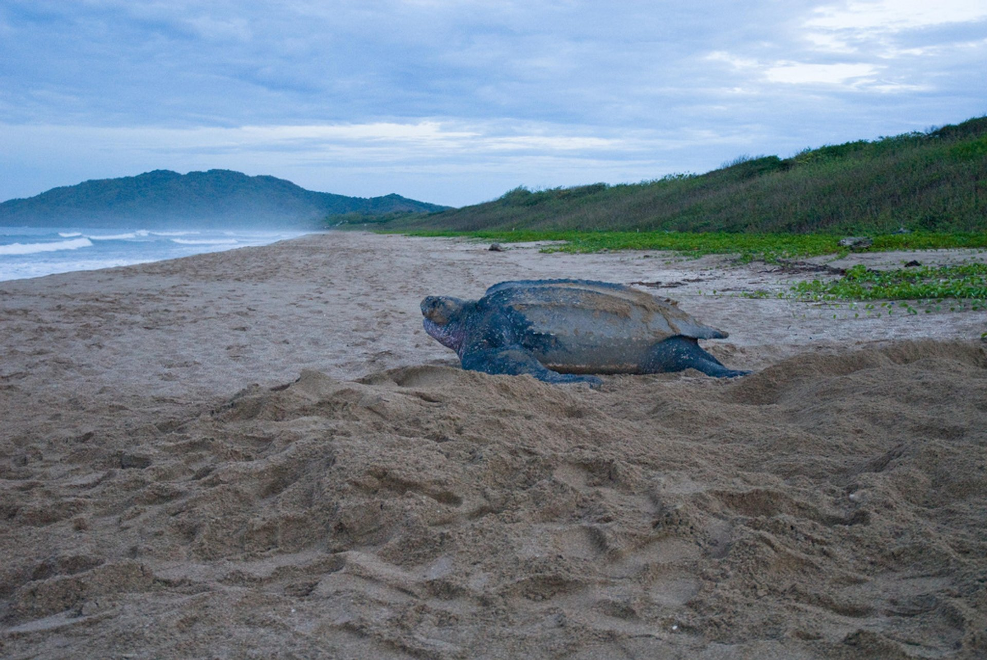 Leatherback Turtles on the Pacific in Costa Rica 2020 - Best Time