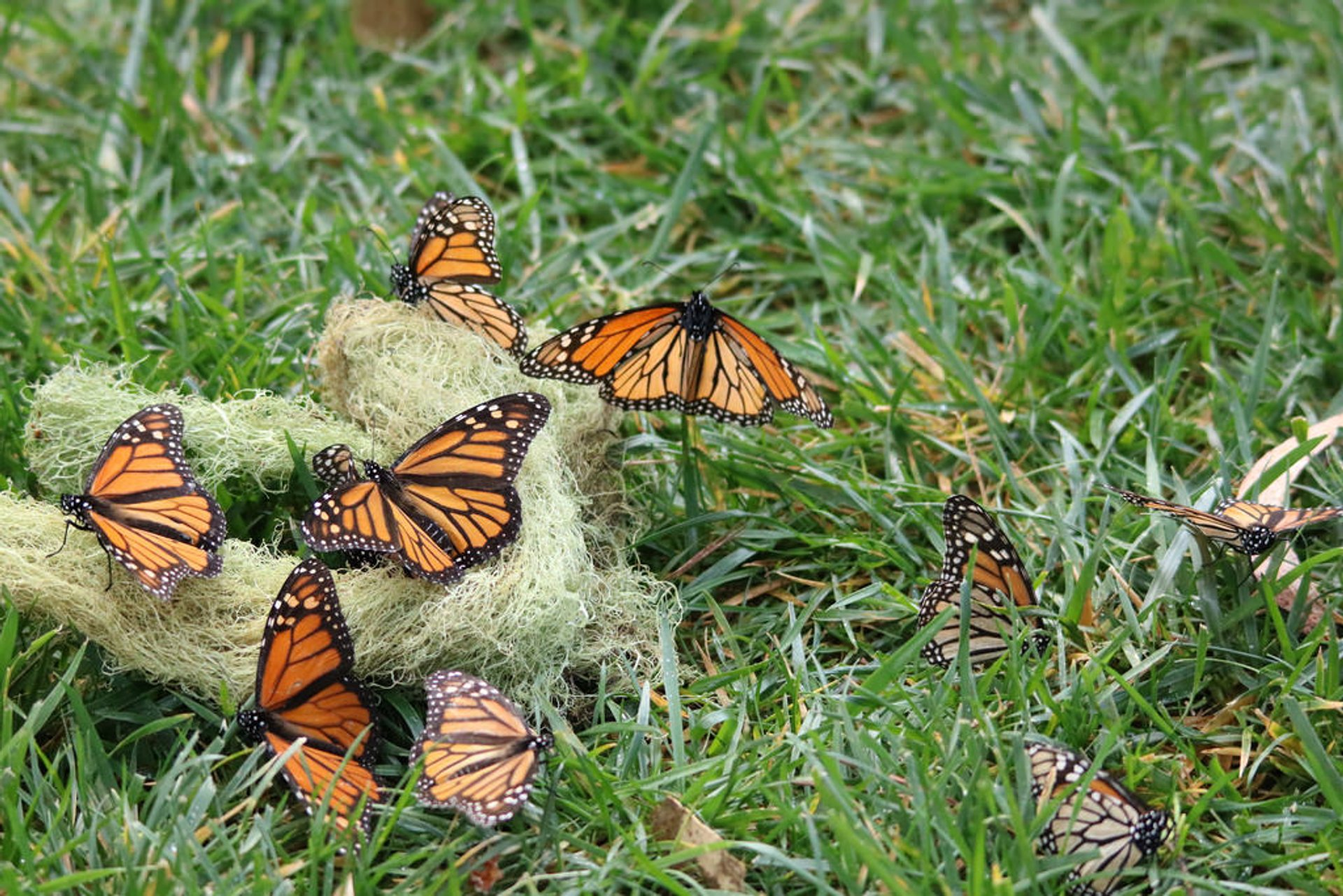 Best time for Monarch Butterflies in California 2020