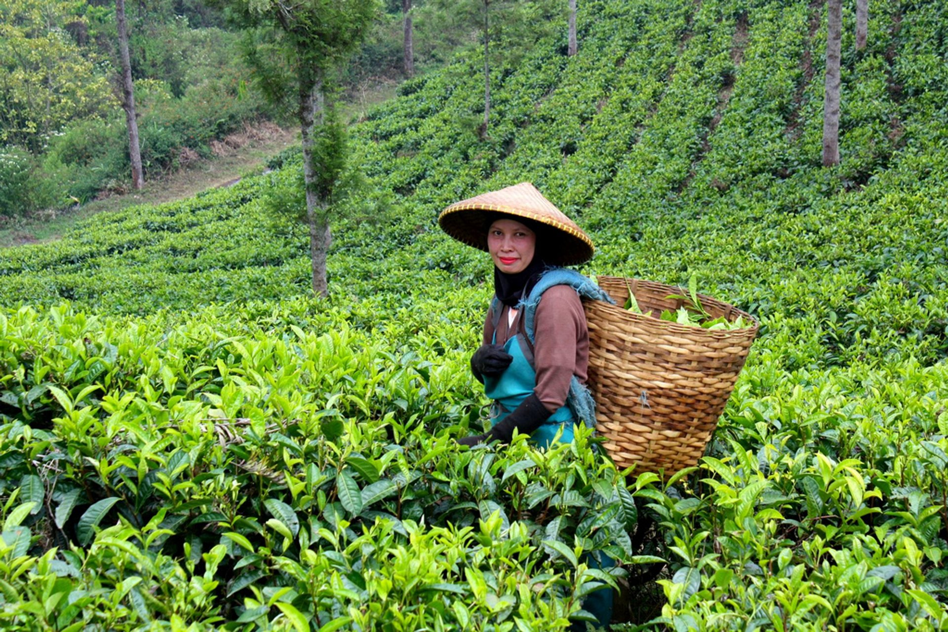 Tea Harvest in Java - Best Time