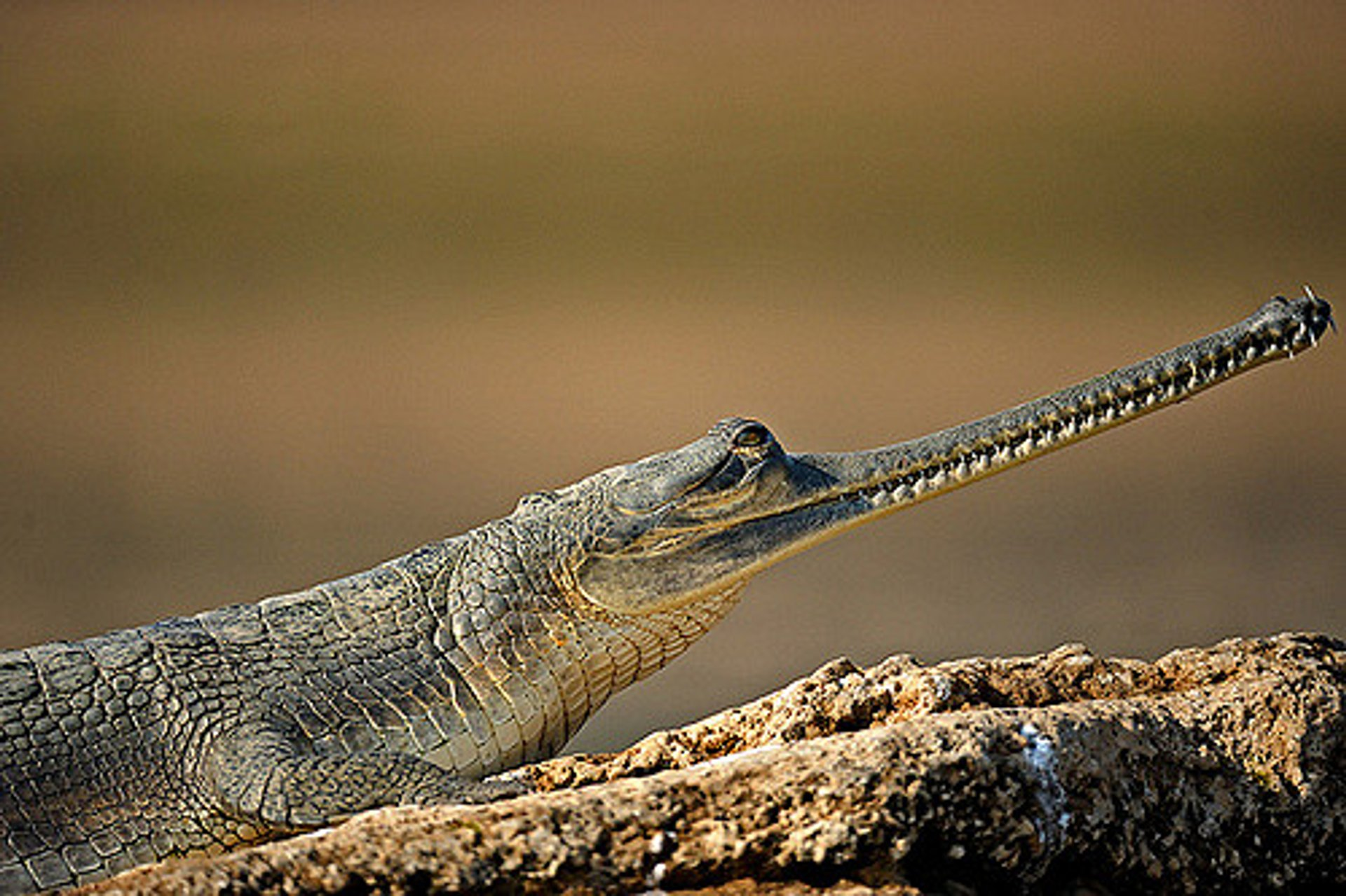 Gharial (alligator) 2020