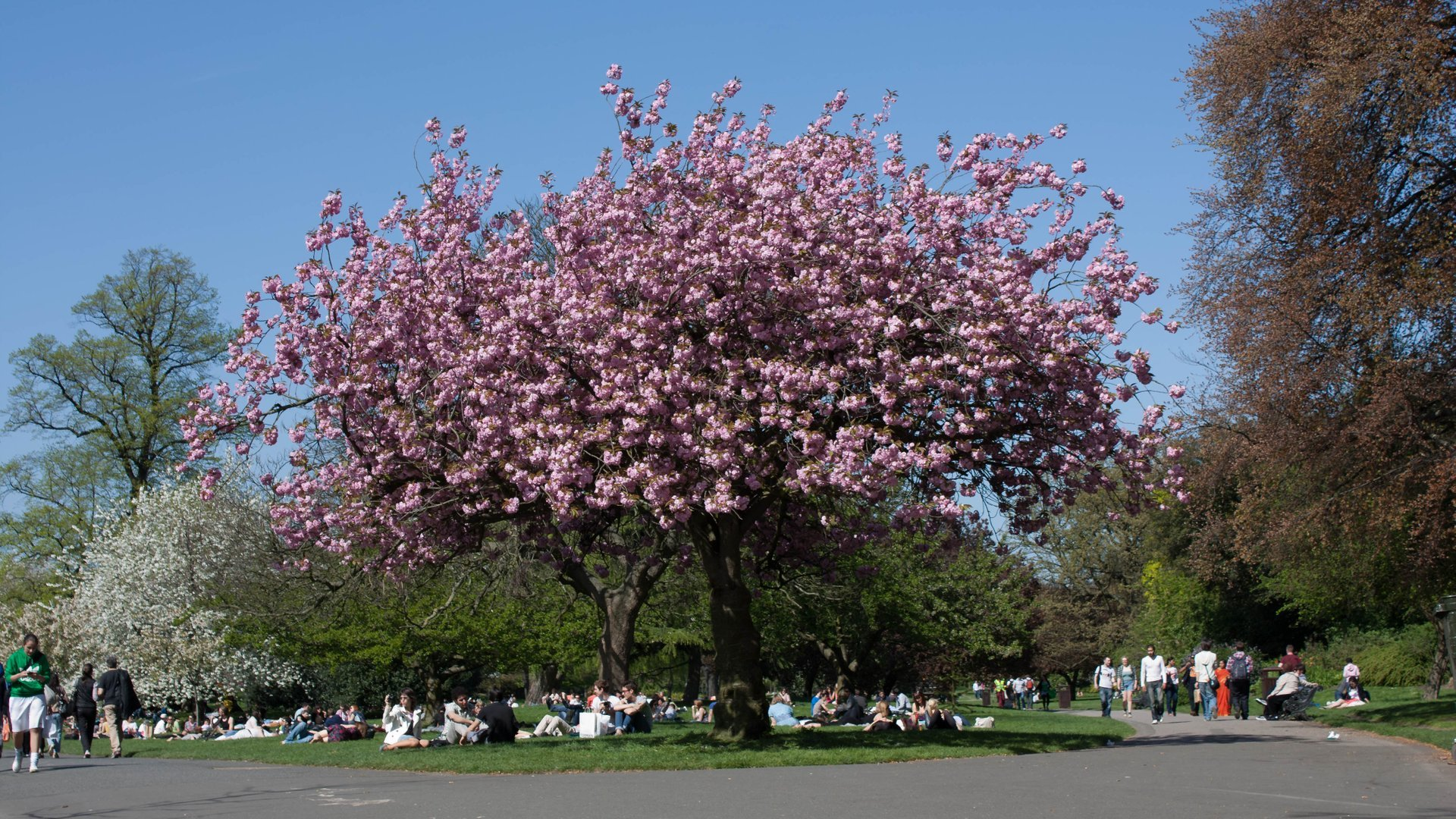 Pink blossom in Regent's Park 2020