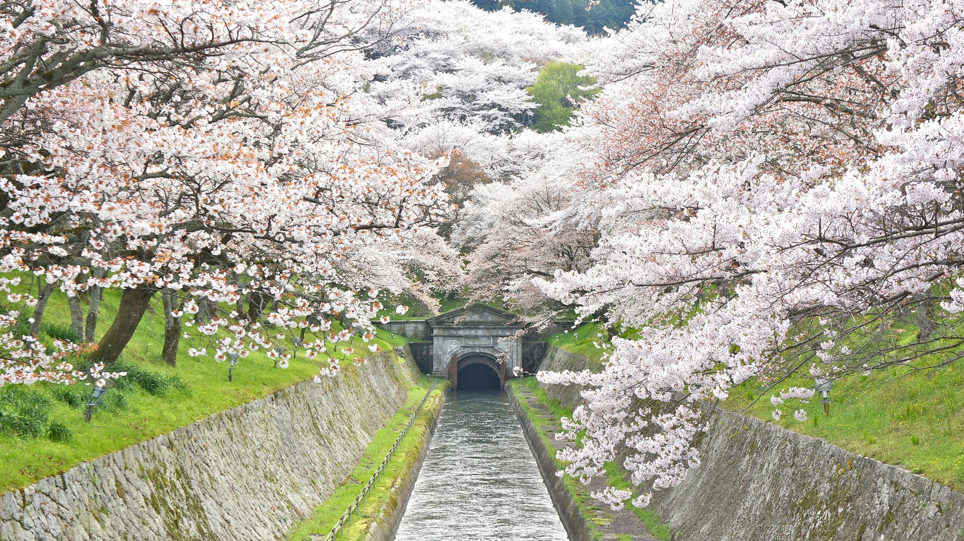 Lake Biwa Canal cherry blossoms 2020