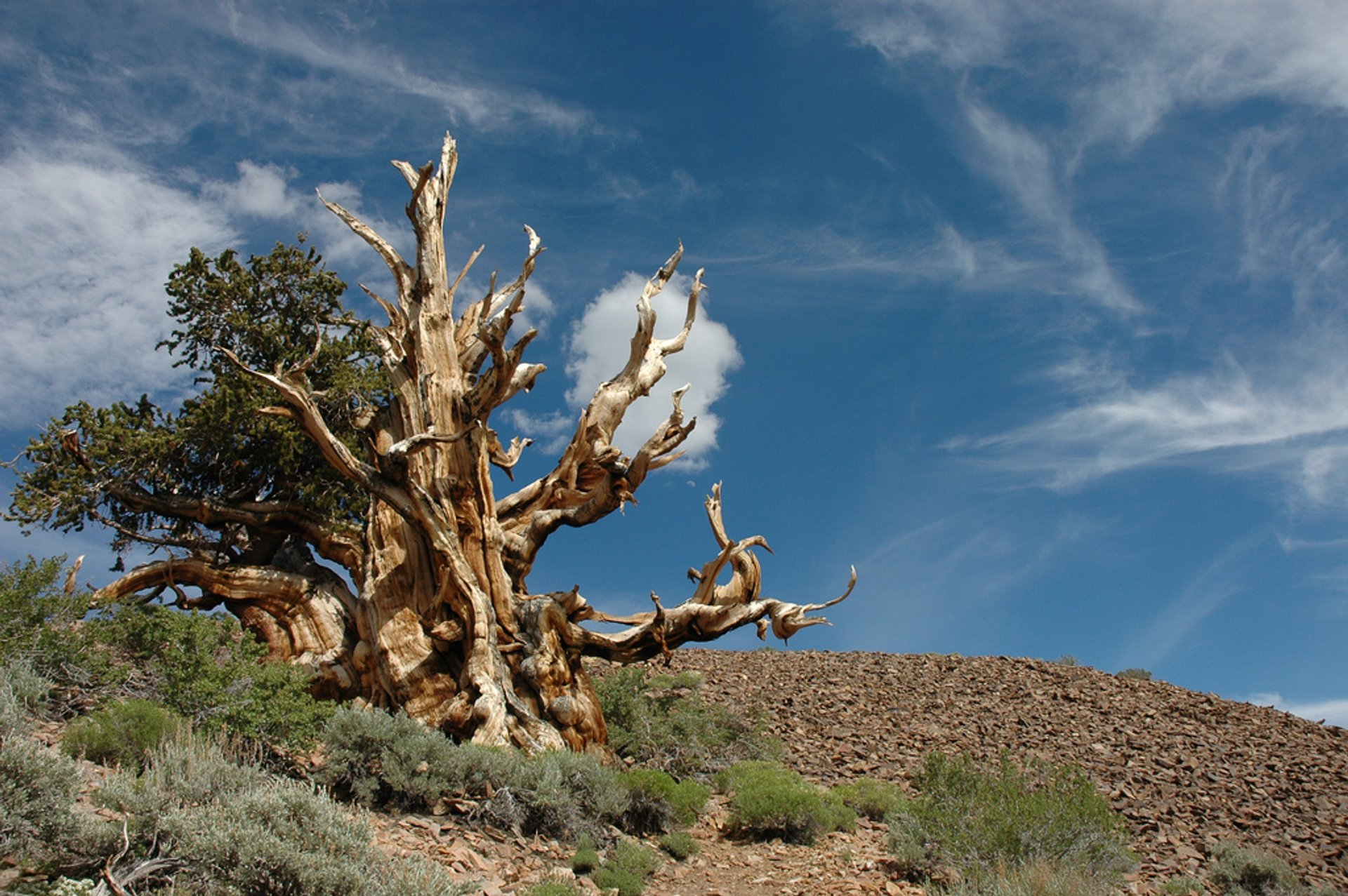 Bristlecone Pines in California - Best Season 2020
