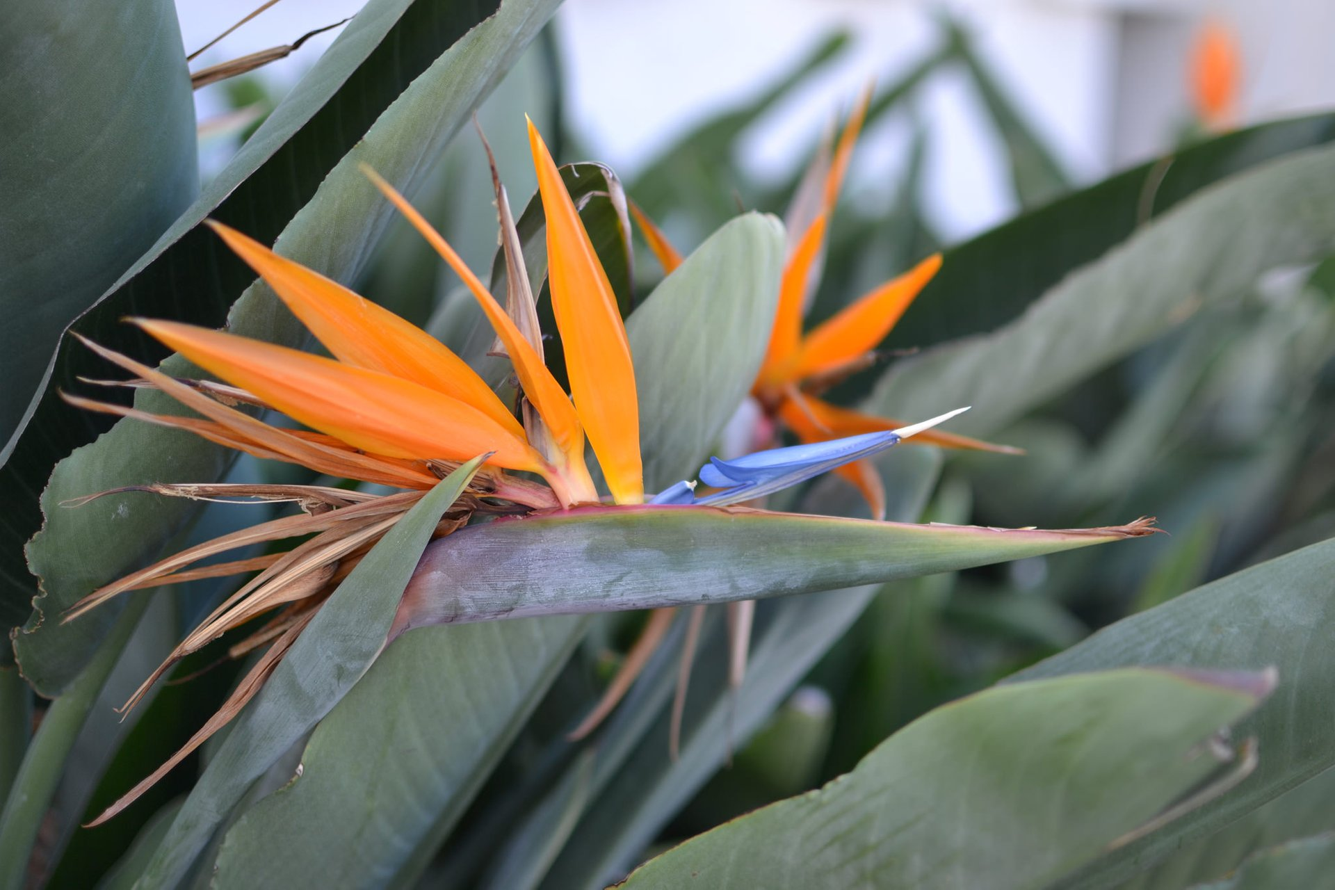 Best time for Bird of Paradise in Los Angeles 2020