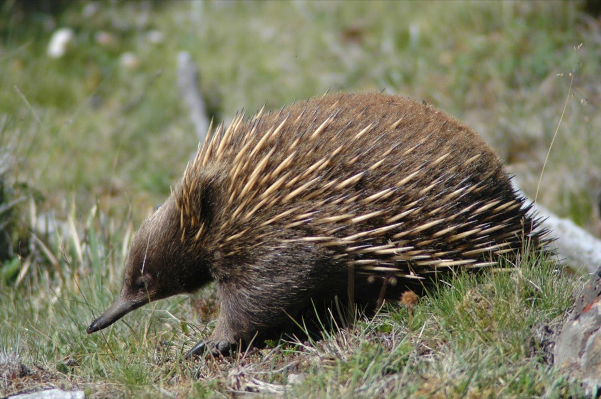 Echidna in Tasmania - Best Time