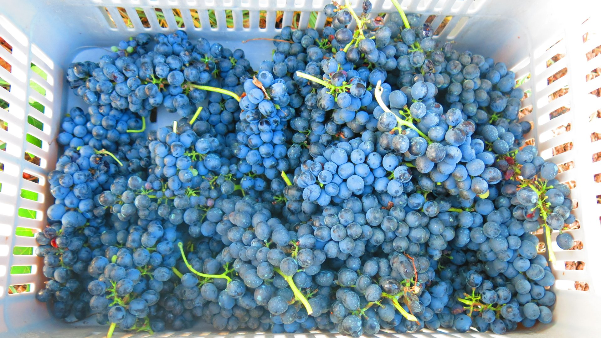 Grape Harvest in Cyprus 2019 - Best Time