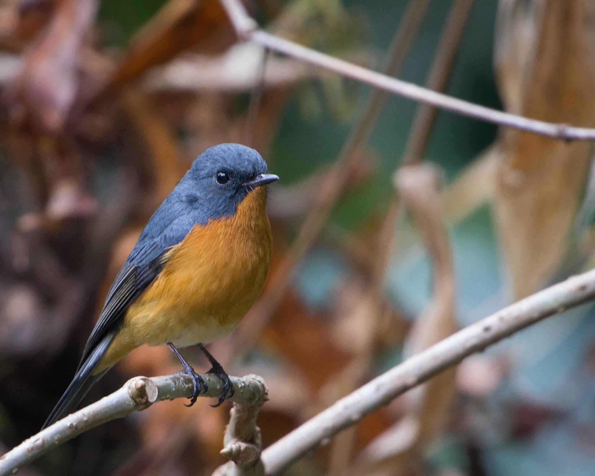 Slaty-backed Flycatcher 2020