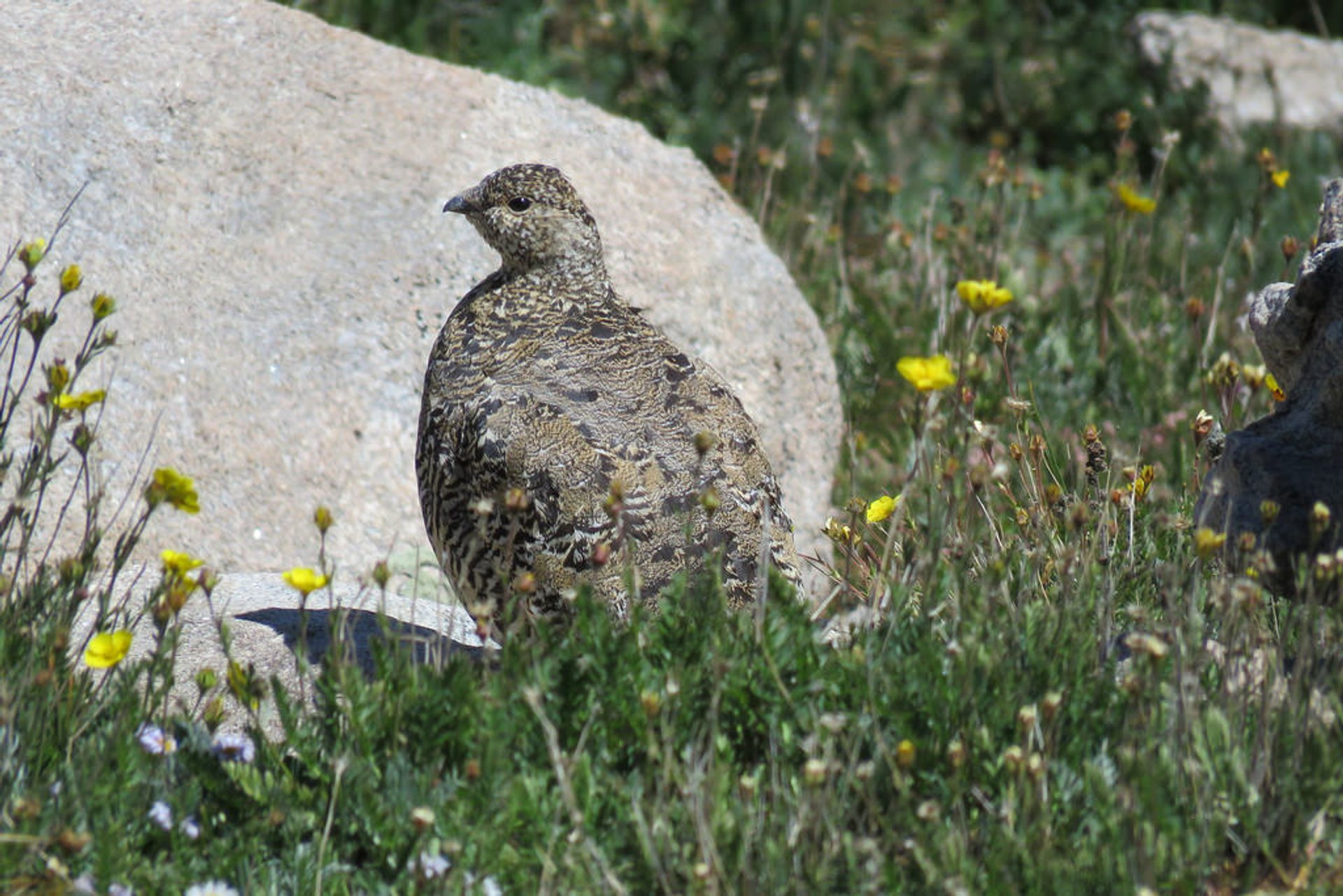 White-Tailed Ptarmigan 2020