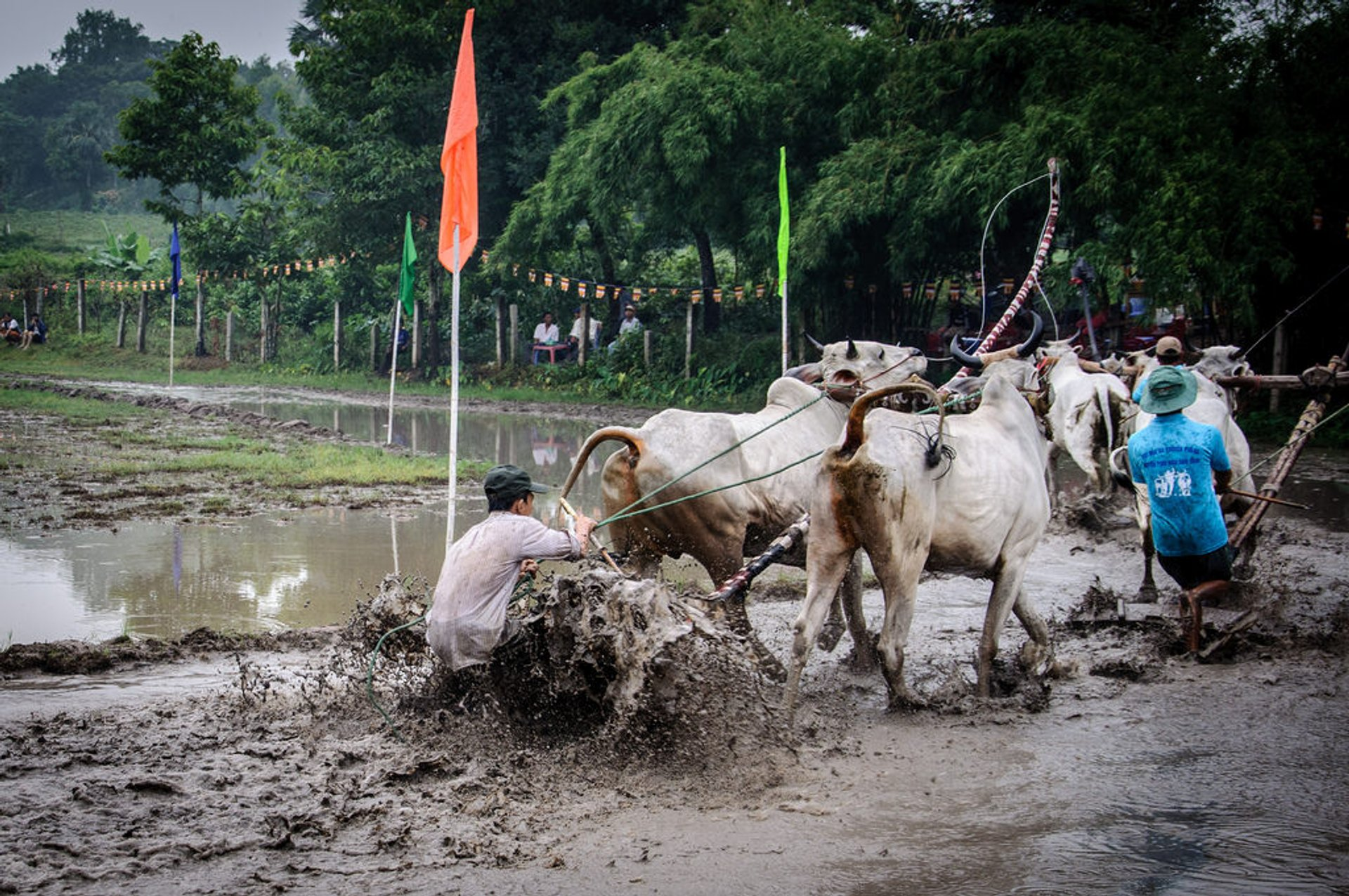Best time for Cow Racing Festival in Vietnam 2020