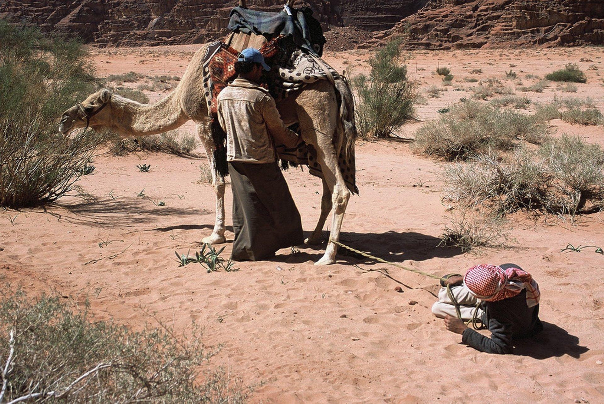 Camel Milk in Jordan - Best Season 2020