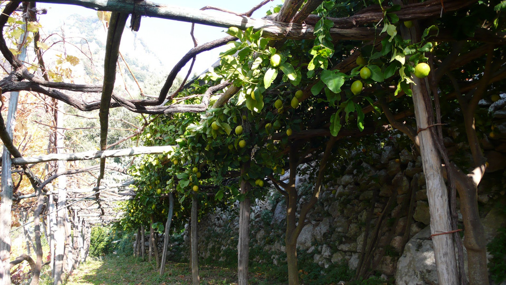 The famous Amalfi lemons growing on Domenico's land 2019