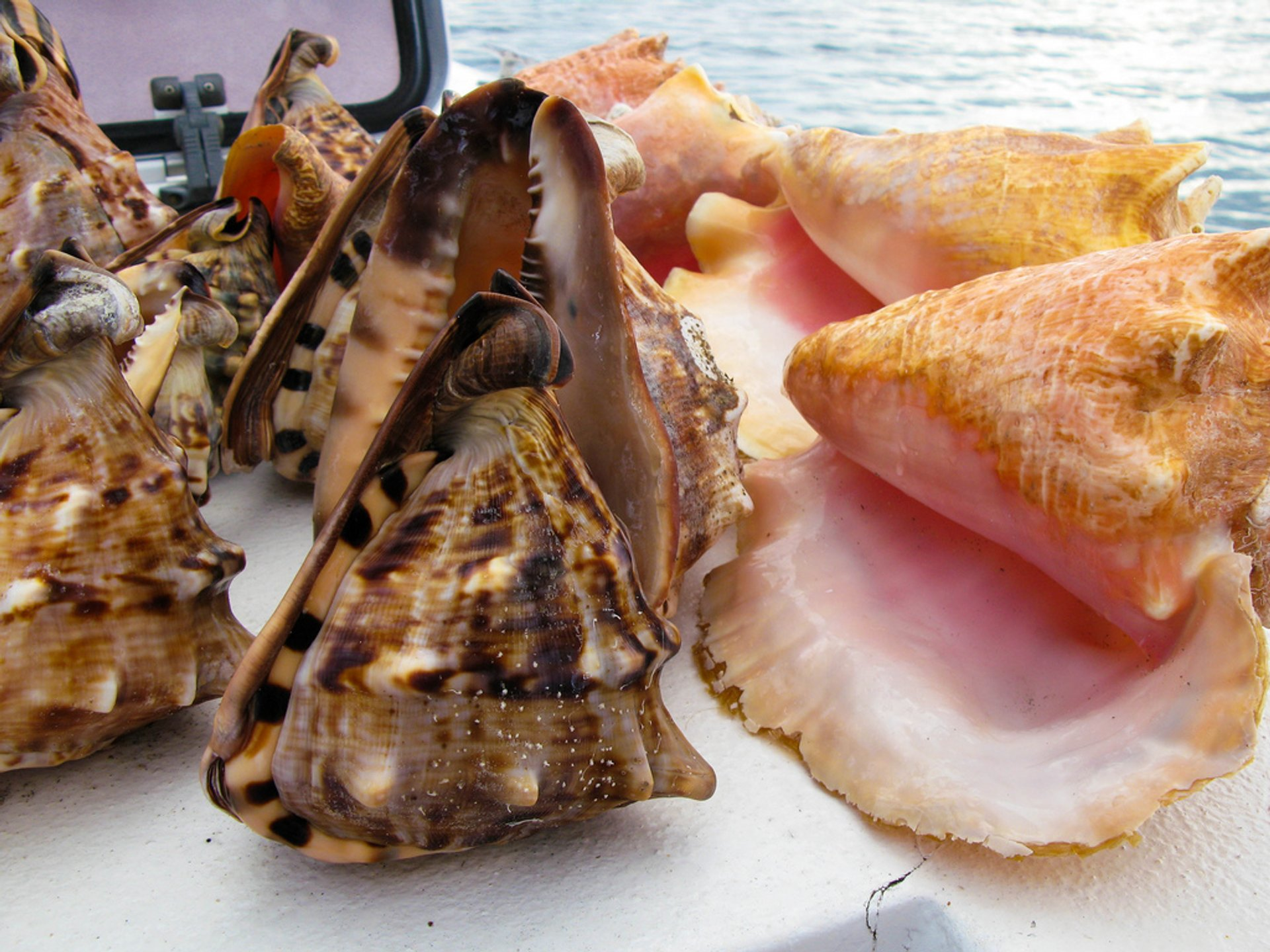 Best time for Queen Conch Season in Jamaica 2020
