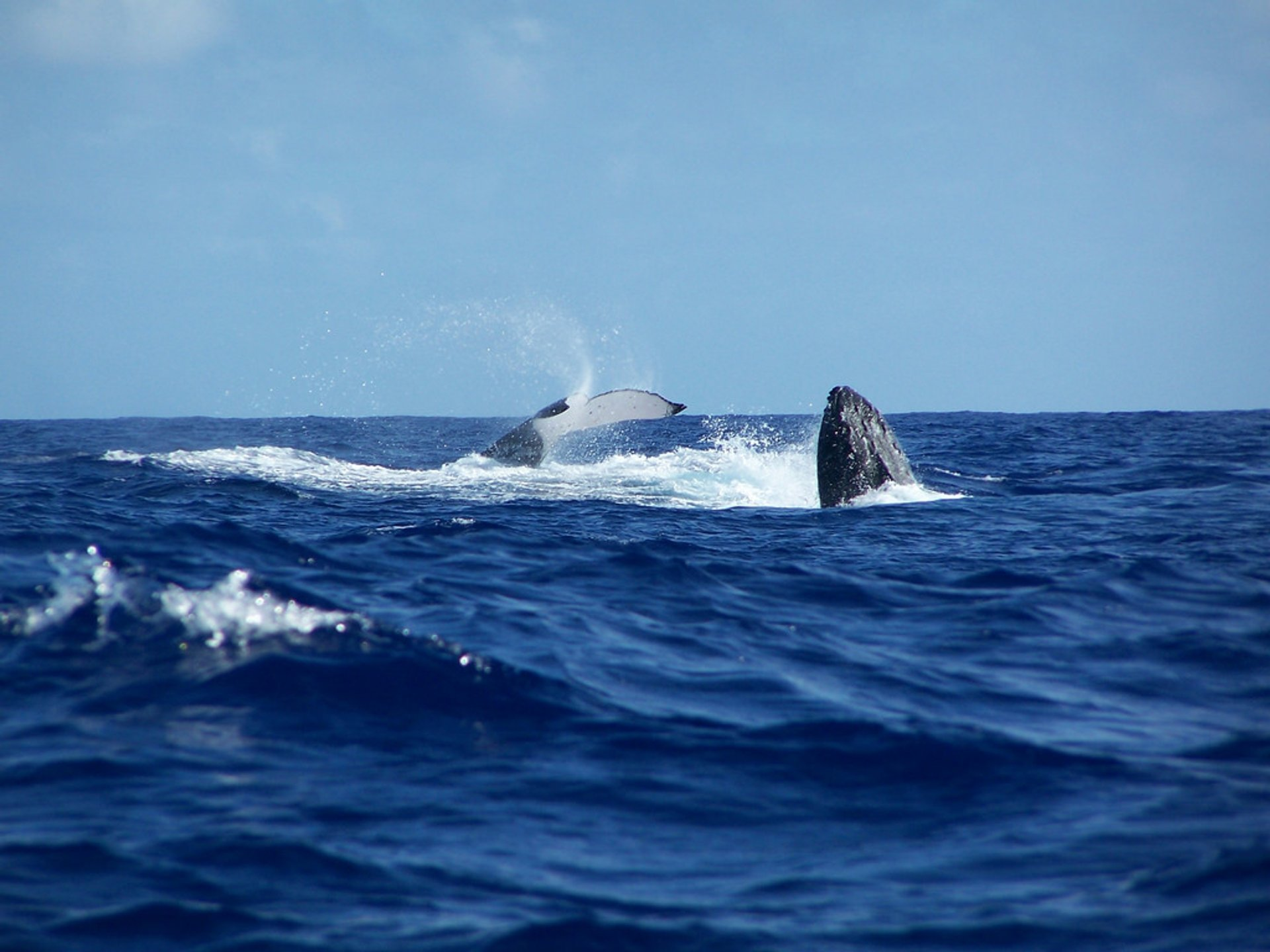 Humpback Whales in Fiji - Best Time