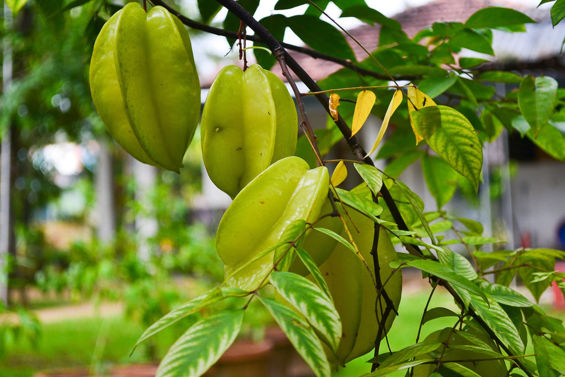 Best time for Carambola (Birimbi, Star Fruit) in Zanzibar