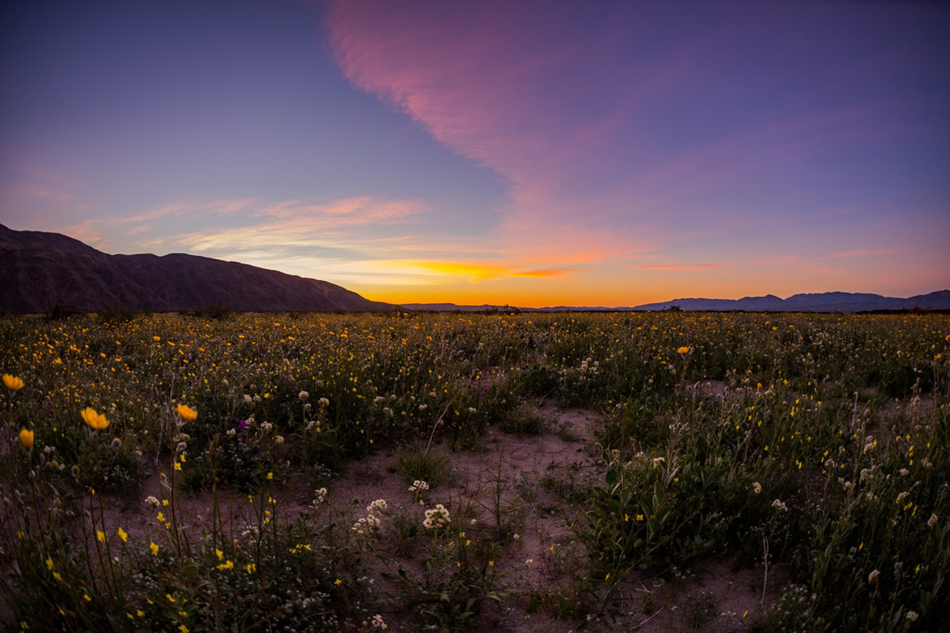 Best time to see Anza-Borrego Desert Super Bloom in California 2020