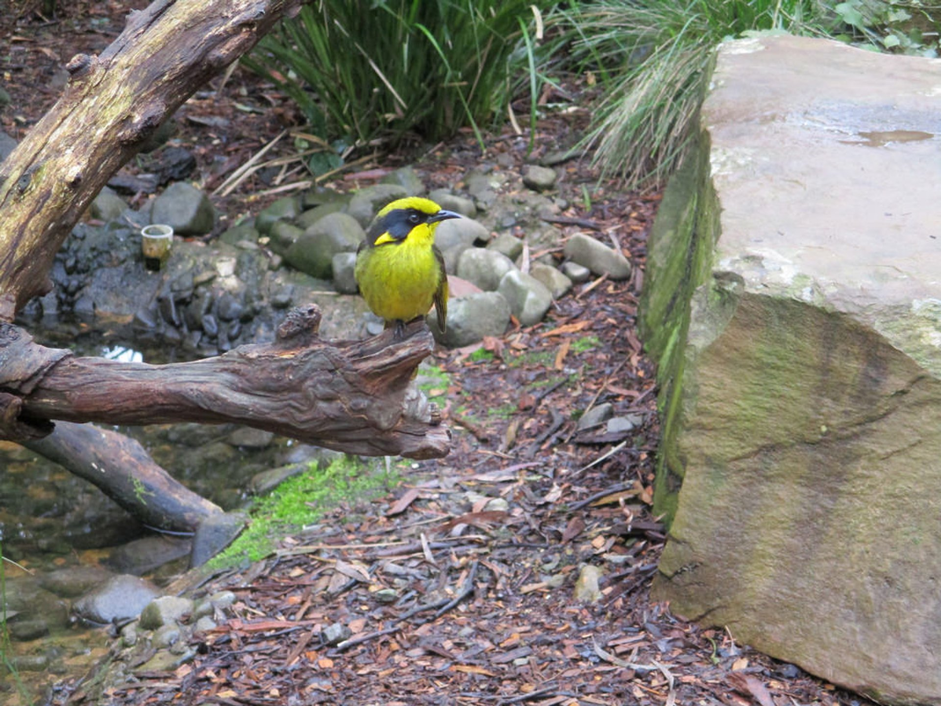 Helmeted Honeyeater in Healesville Sanctuary 2019