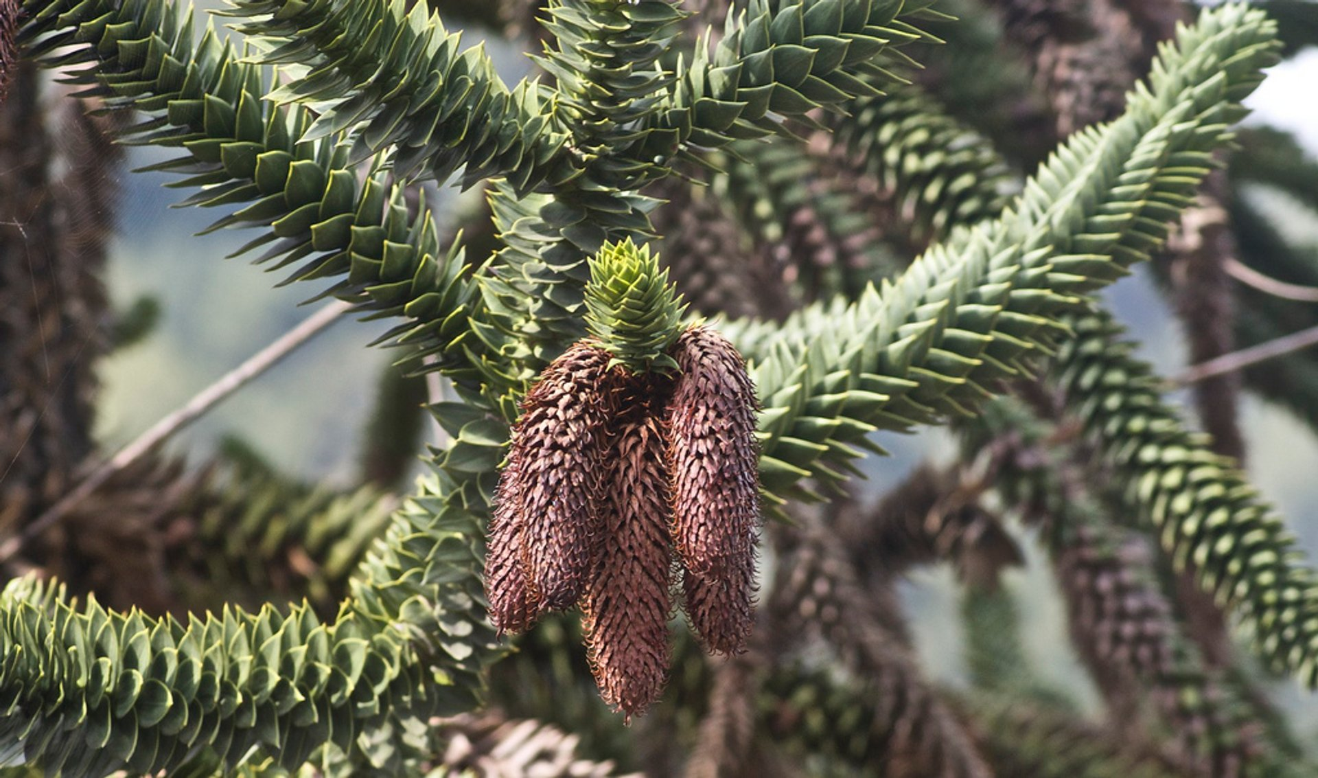 Monkey Puzzle Seeds in San Francisco 2019 - Best Time