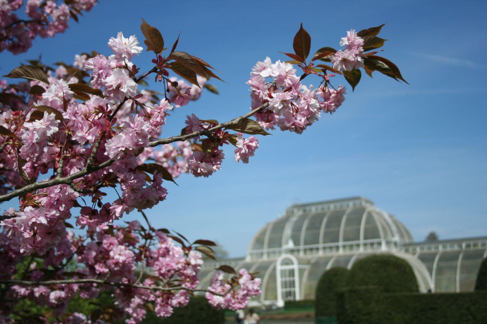 Cherry blossom at Kew Gardens 2019