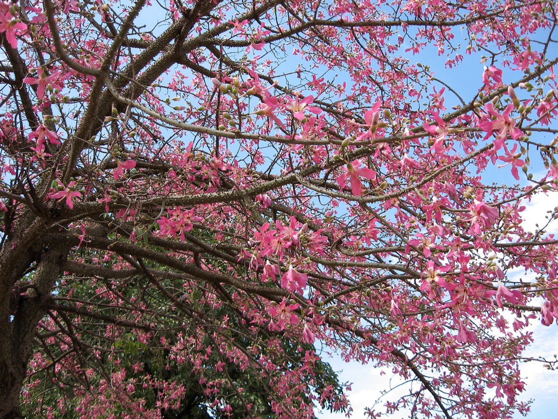 Toborochi Tree in Bloom in Bolivia 2020 - Best Time