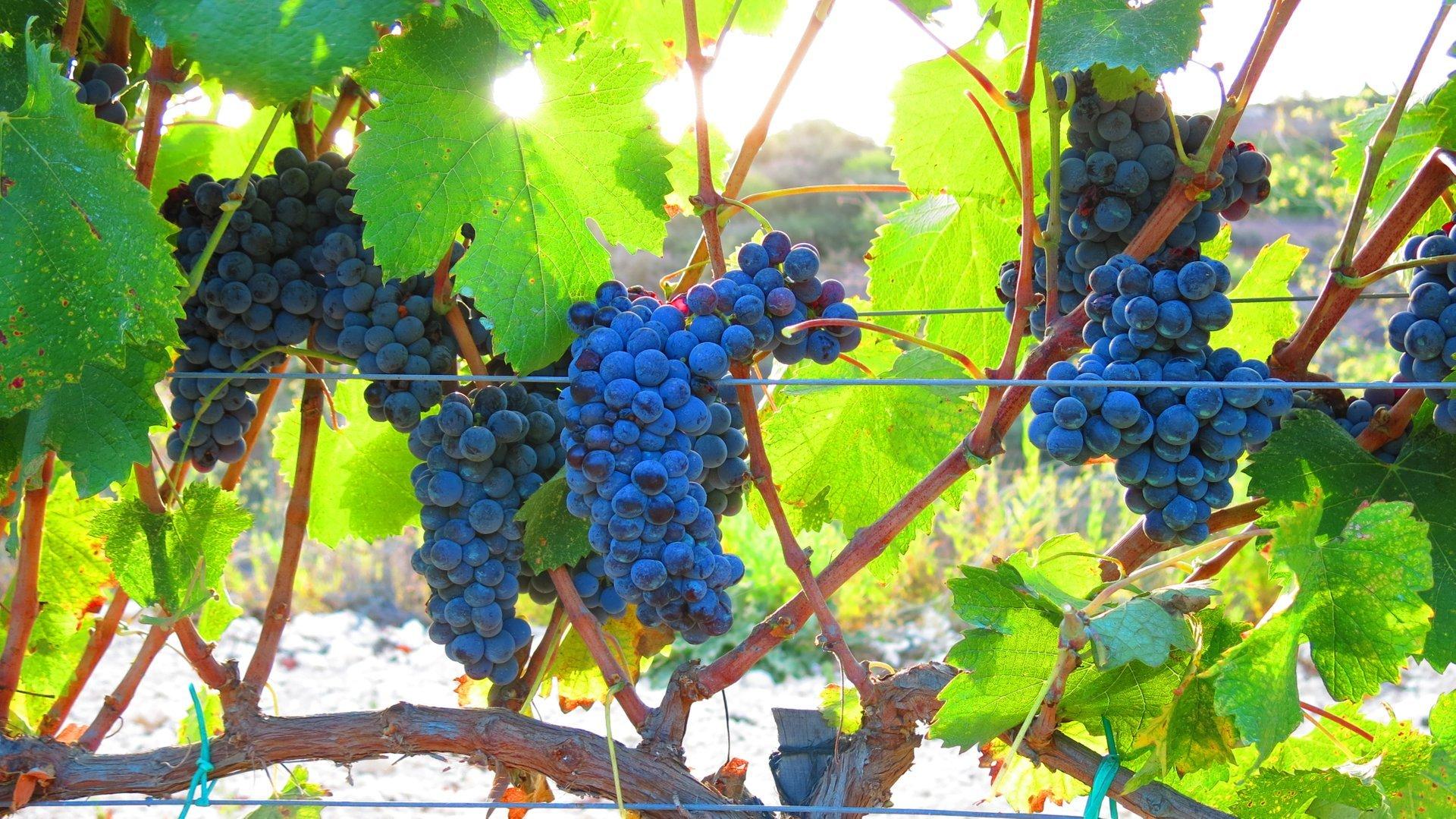 Grape Harvest in Cyprus - Best Season 2020