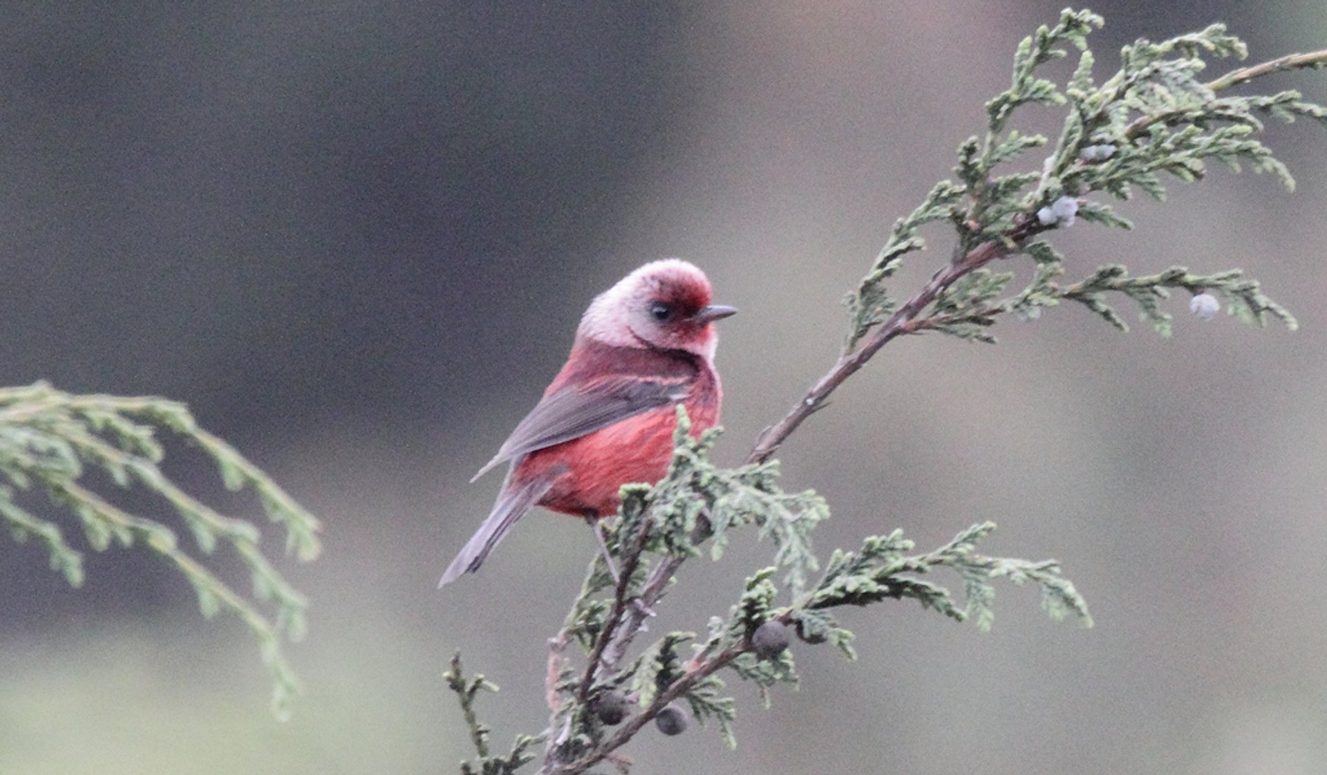 Pink-headed Warbler (Ergaticus versicolor) 2020