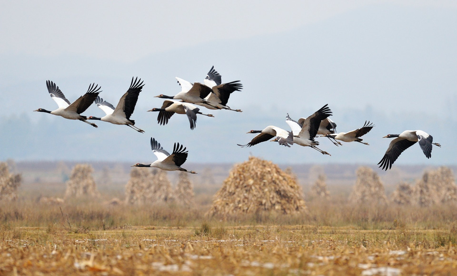 Best time for Black-Necked Cranes in Tibet