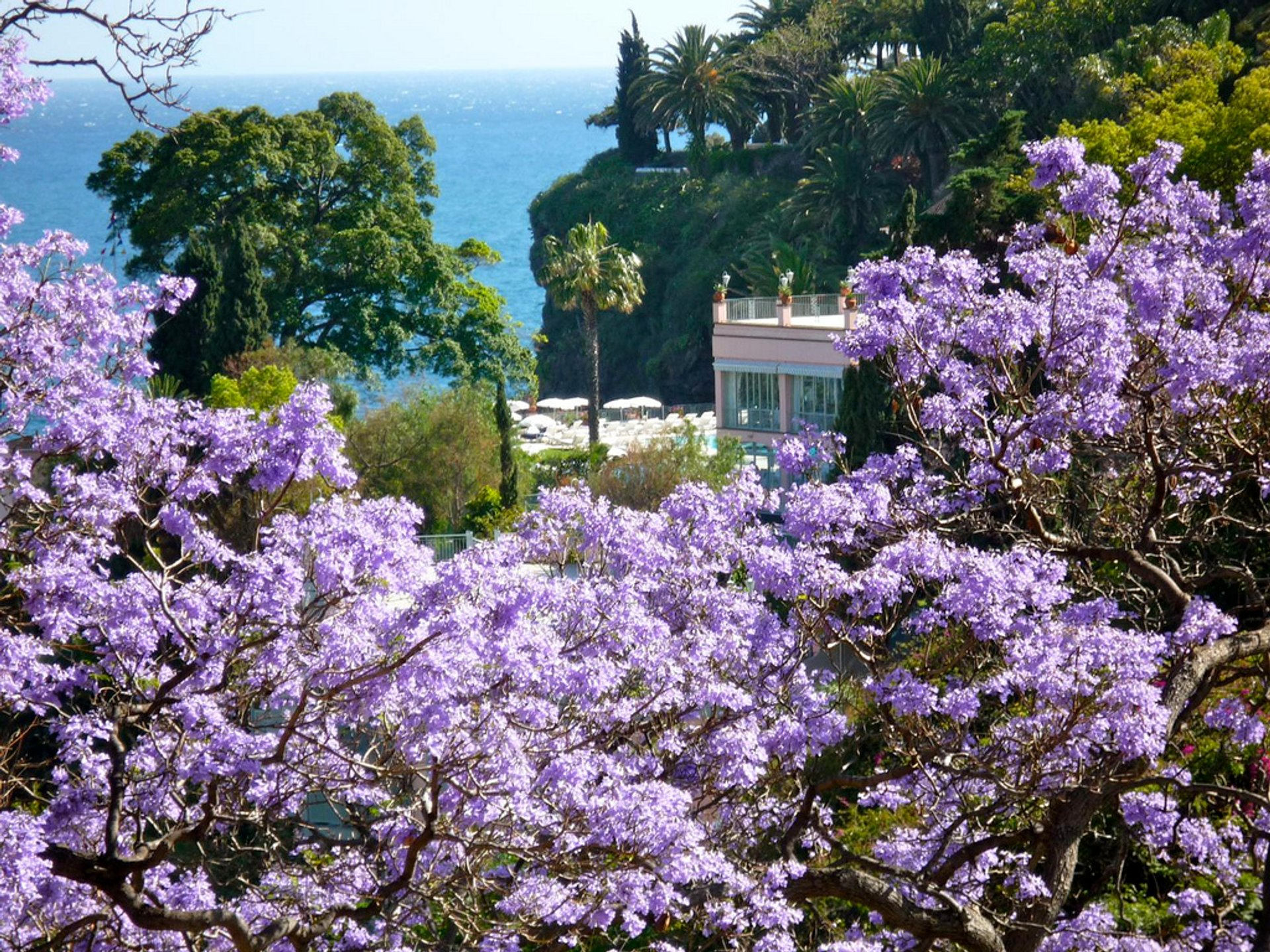 Jacaranda Trees in Bloom in Madeira - Best Season