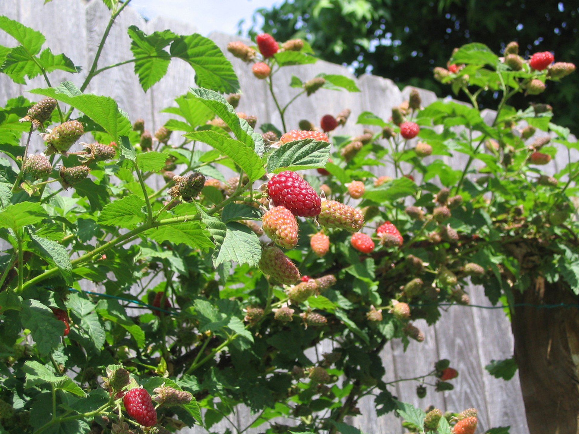 Loganberries in Ireland - Best Season 2019