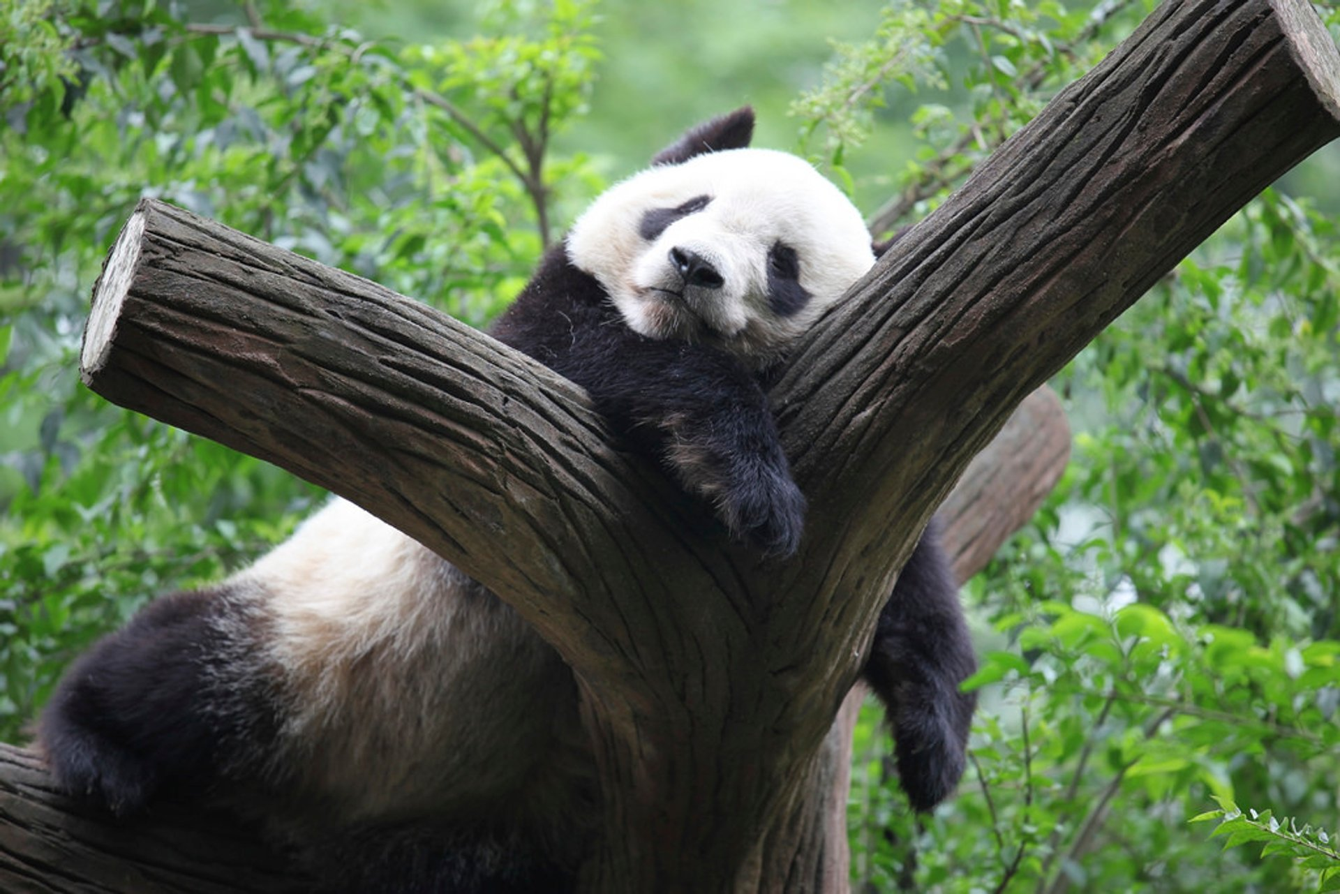 Best time for Giant Pandas 2020