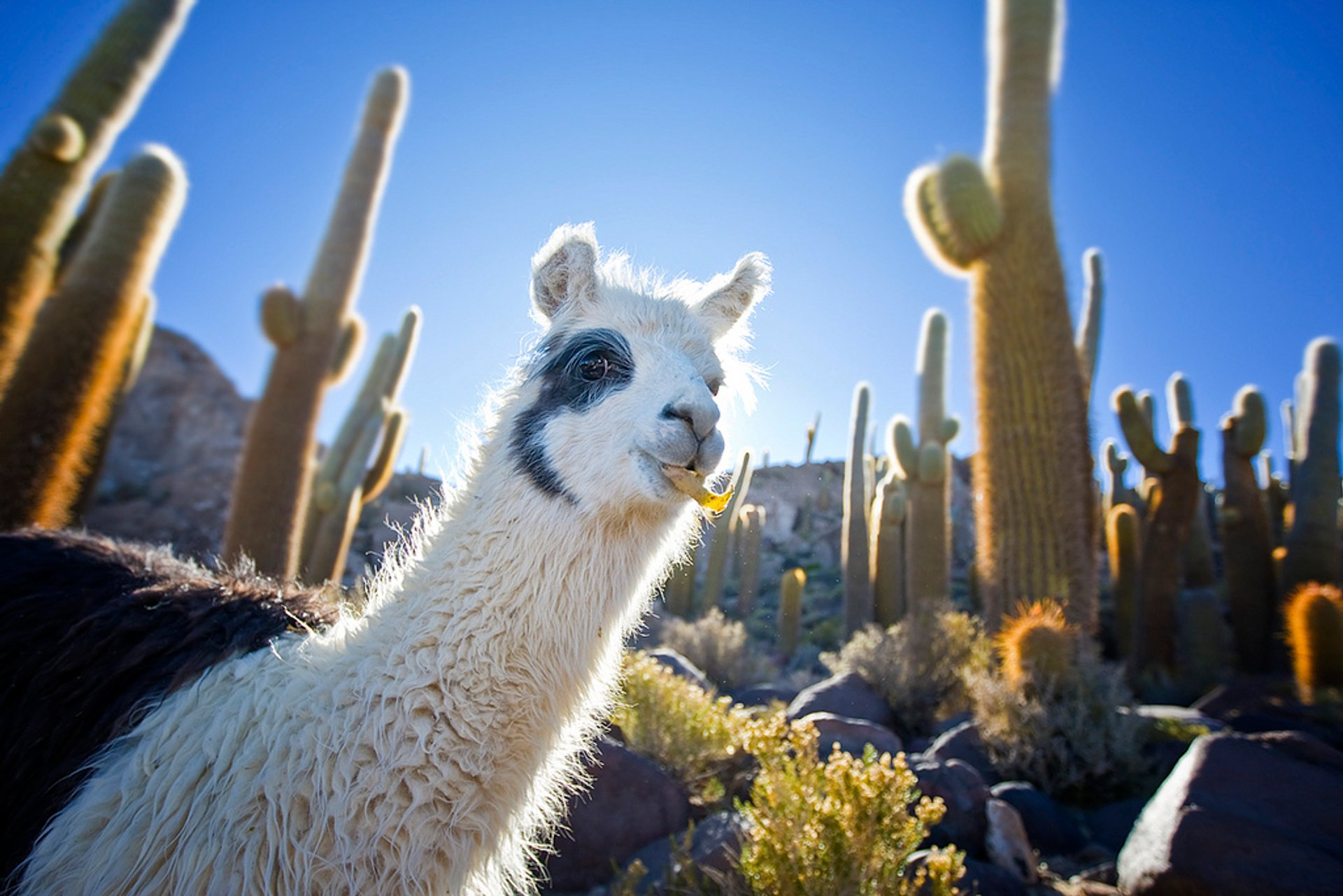Best time for Llamas in Bolivia 2020