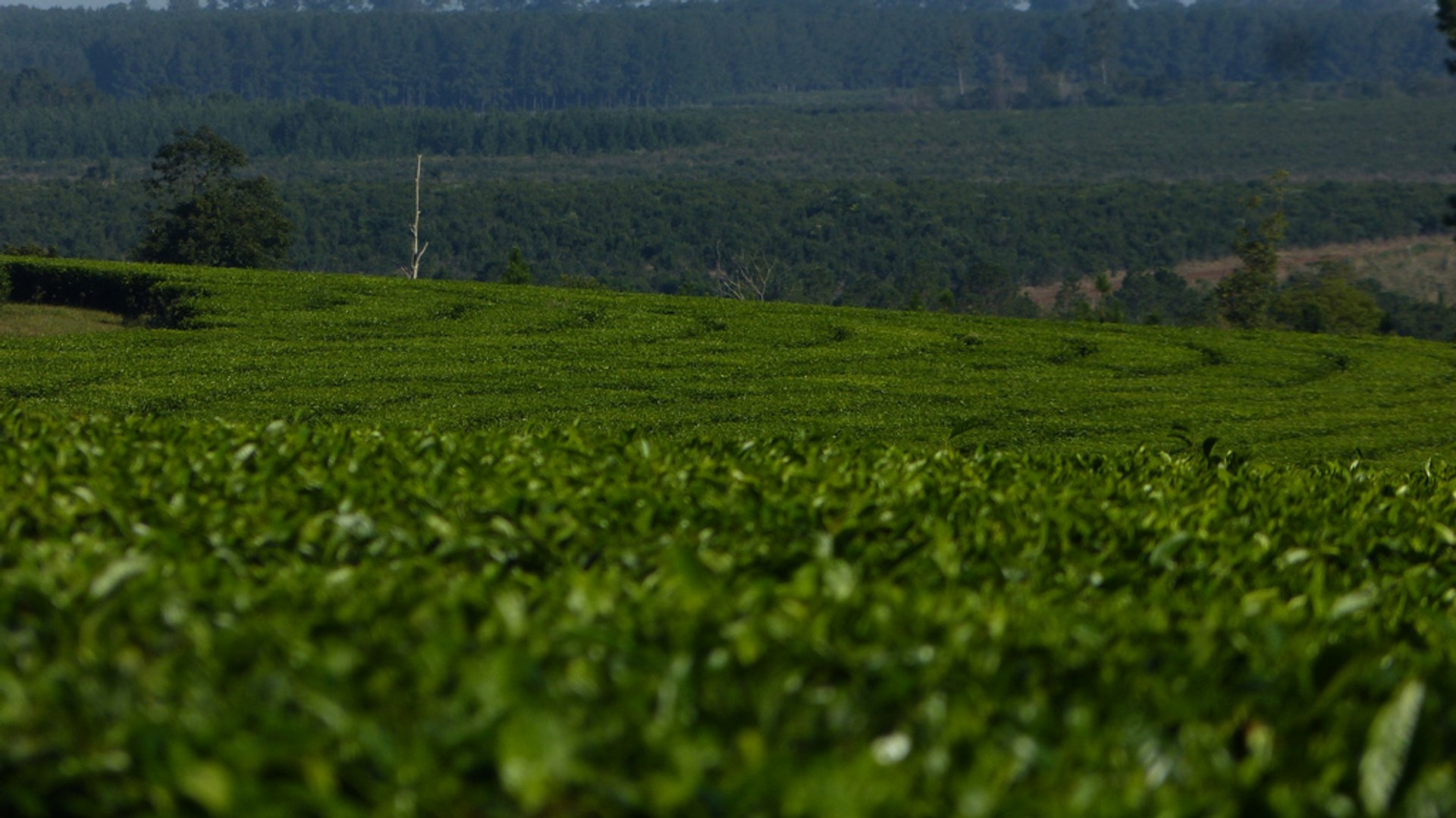 Tea Harvest in Argentina - Best Season 2020