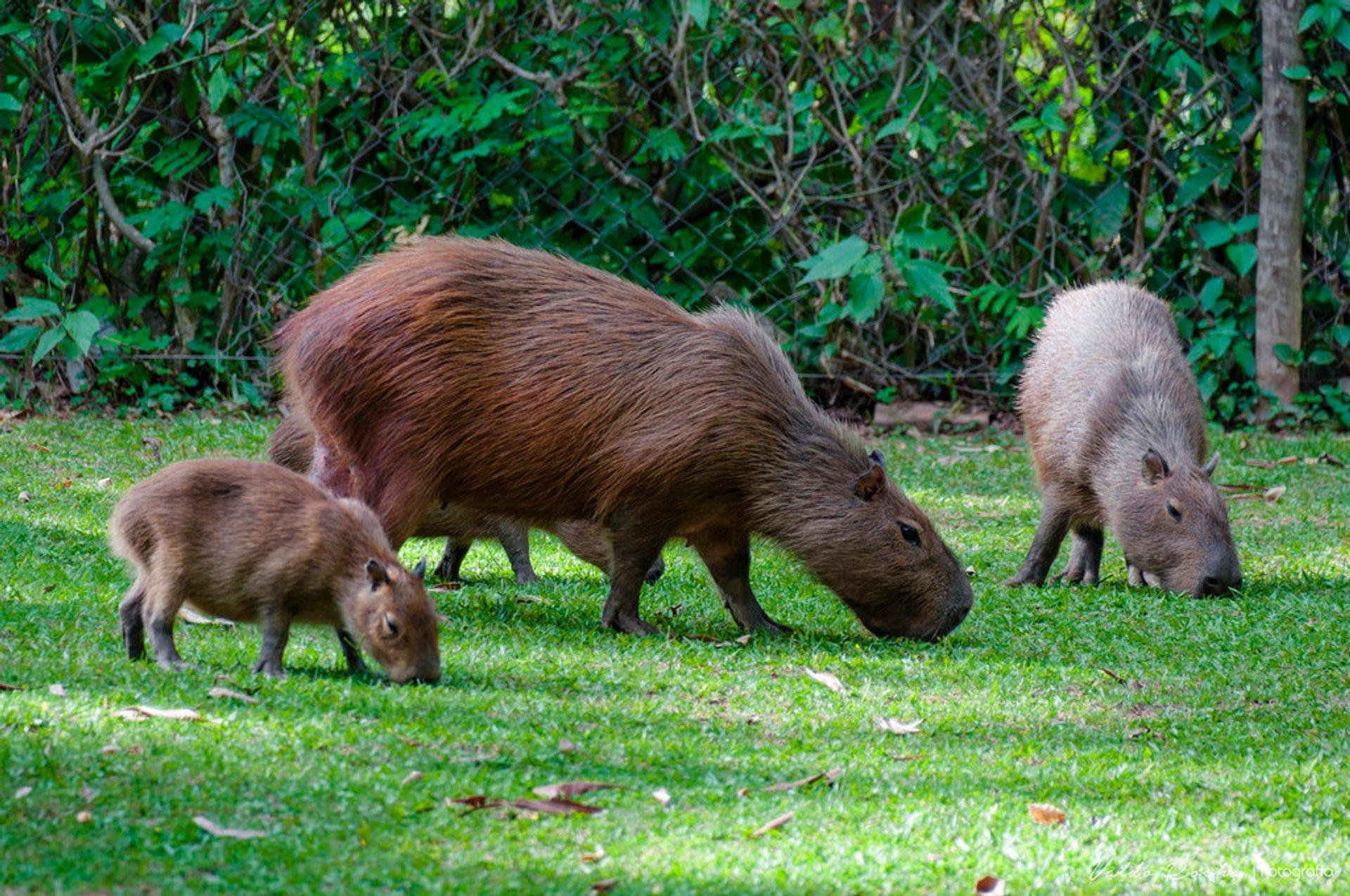 Capybara Watching (Breeding Season) in Rio de Janeiro 2020 - Best Time