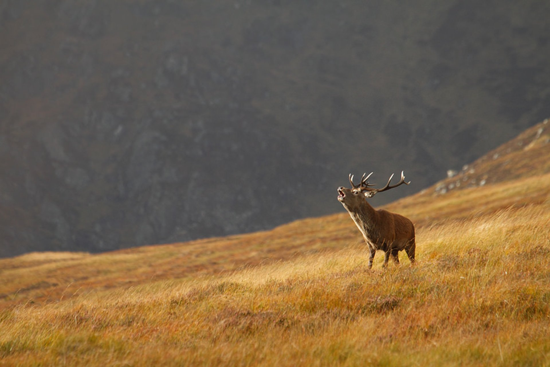 Red Deer​ Rutting in Scotland 2019 - Best Time
