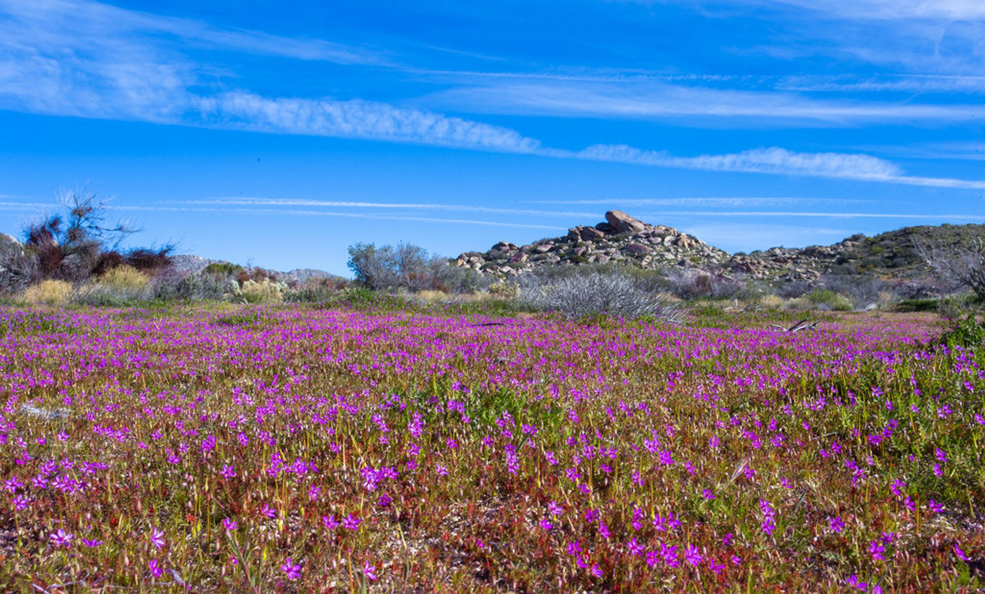 Anza-Borrego Desert Super Bloom in California - Best Season 2020