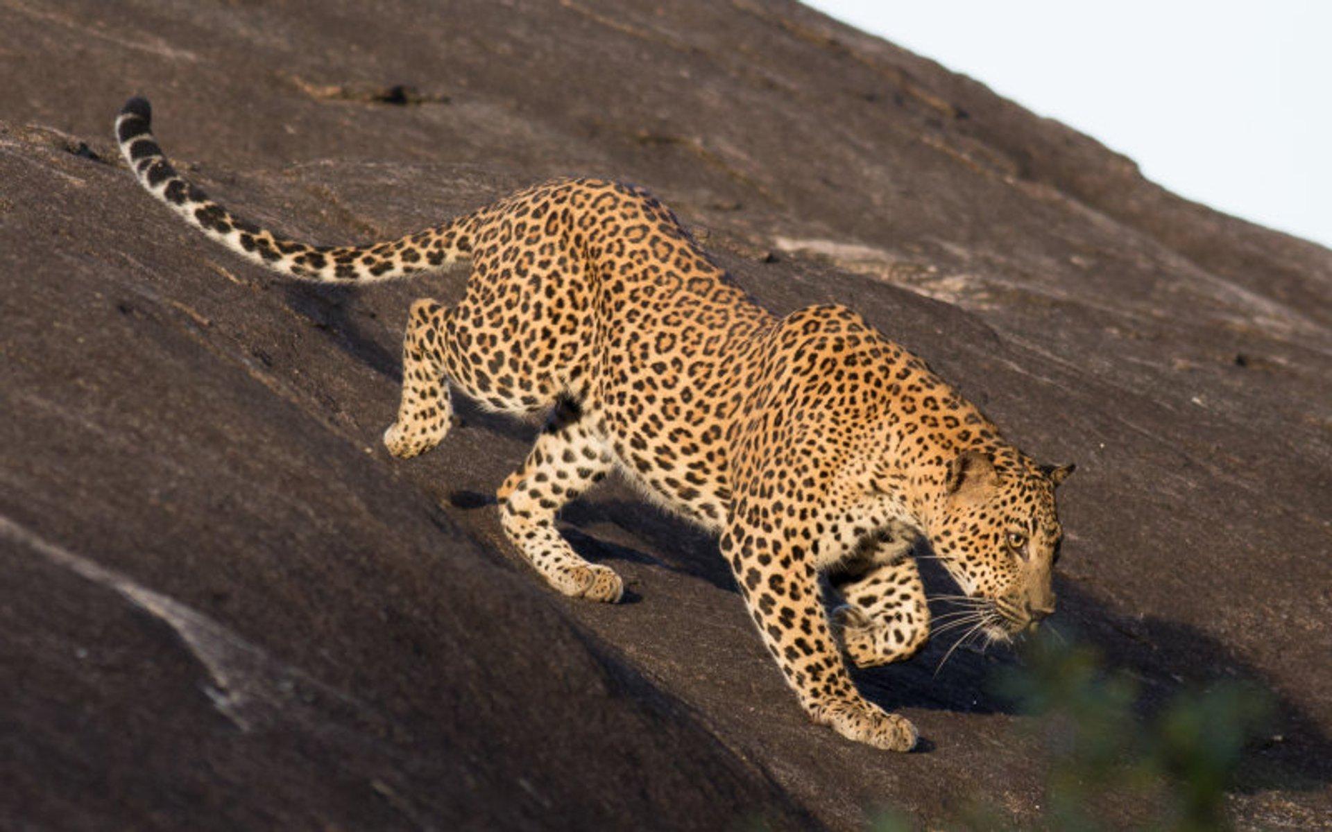Leopard Safari in Sri Lanka 2020 - Best Time