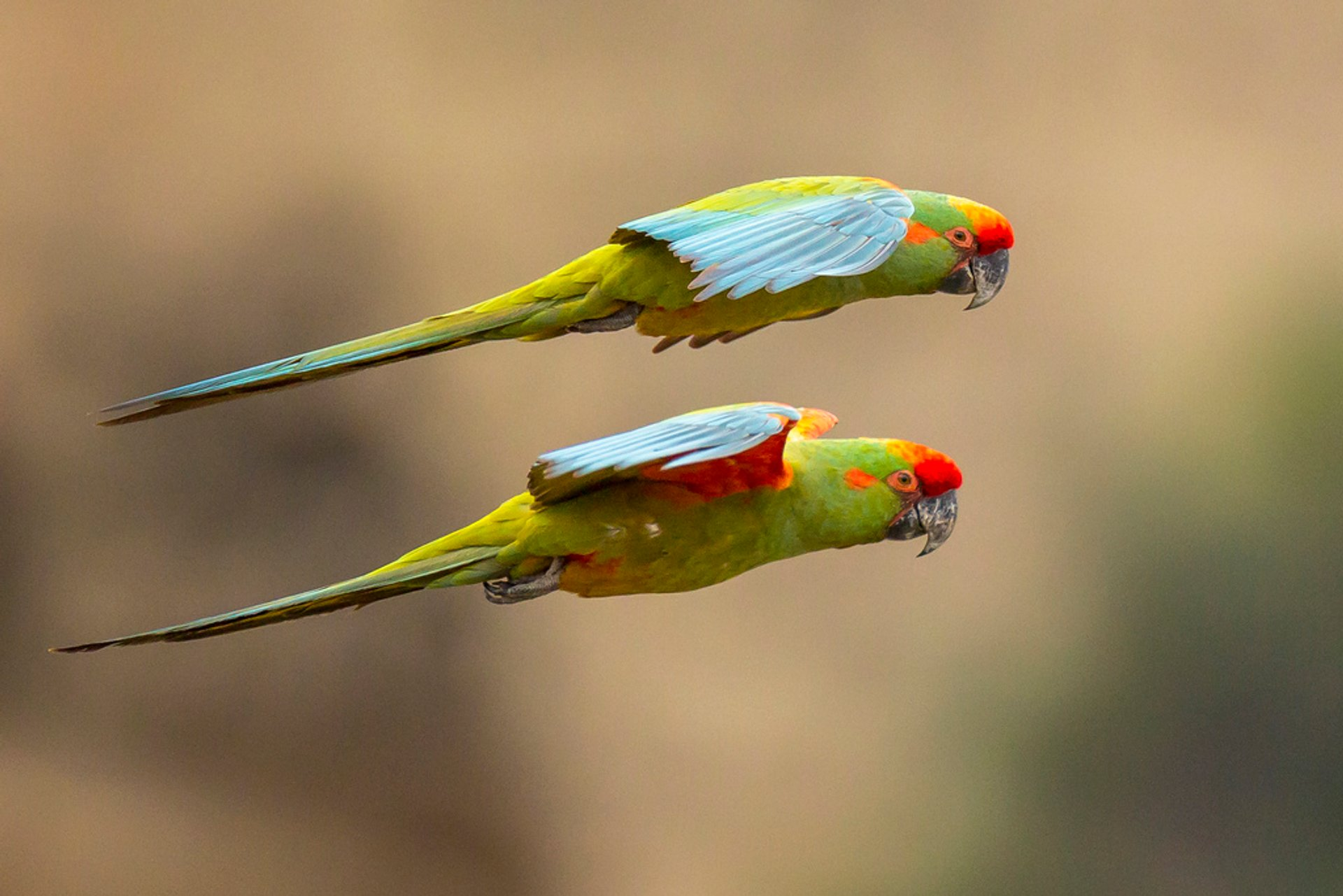 Red-fronted Macaw 2020