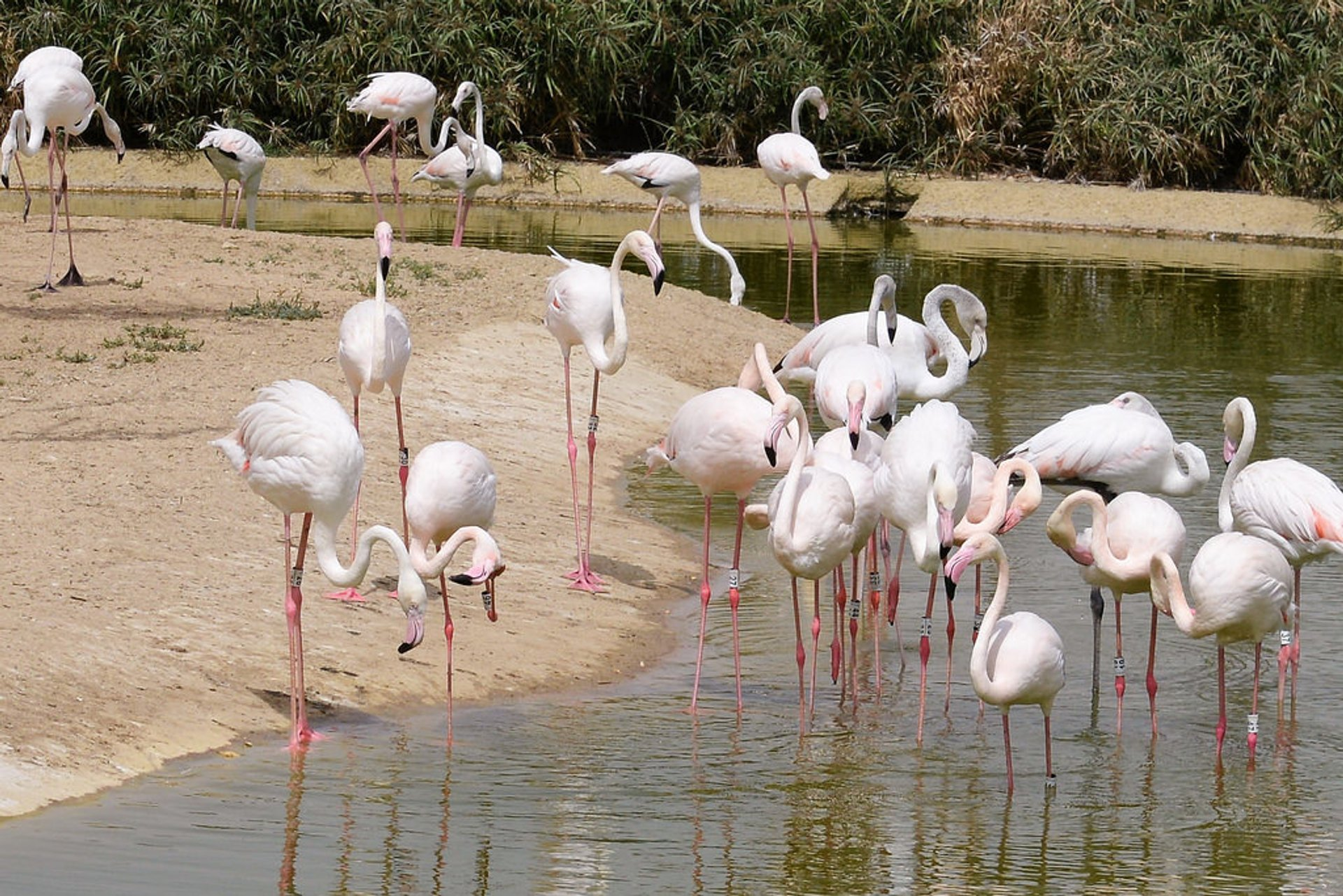 Flamingos of Dubai Safari Park 2020