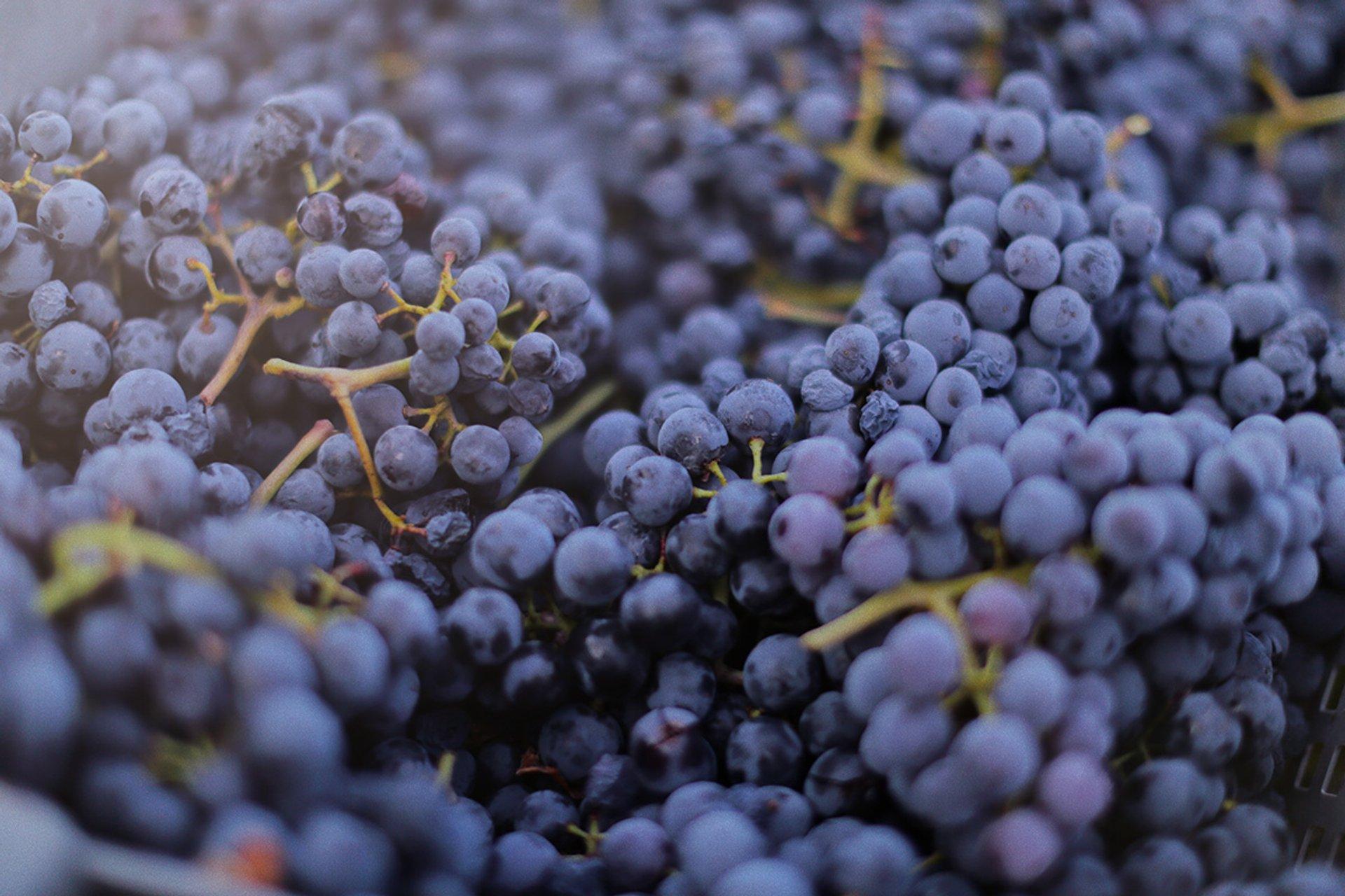 Grape Season in Croatia 2019 - Best Time
