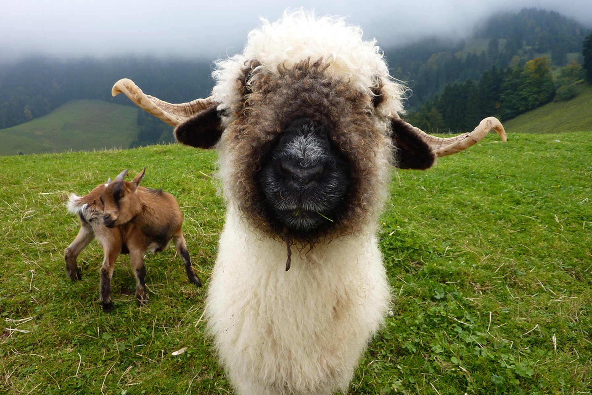 Valais Blacknose Sheep in Switzerland 2020 - Best Time