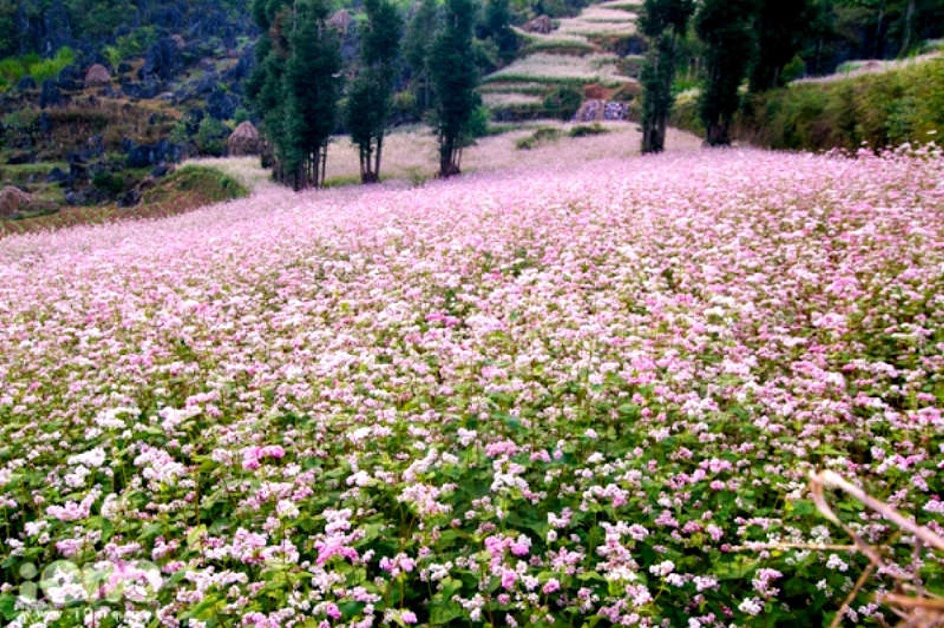 Buckwheat Bloom Season in Vietnam - Best Time