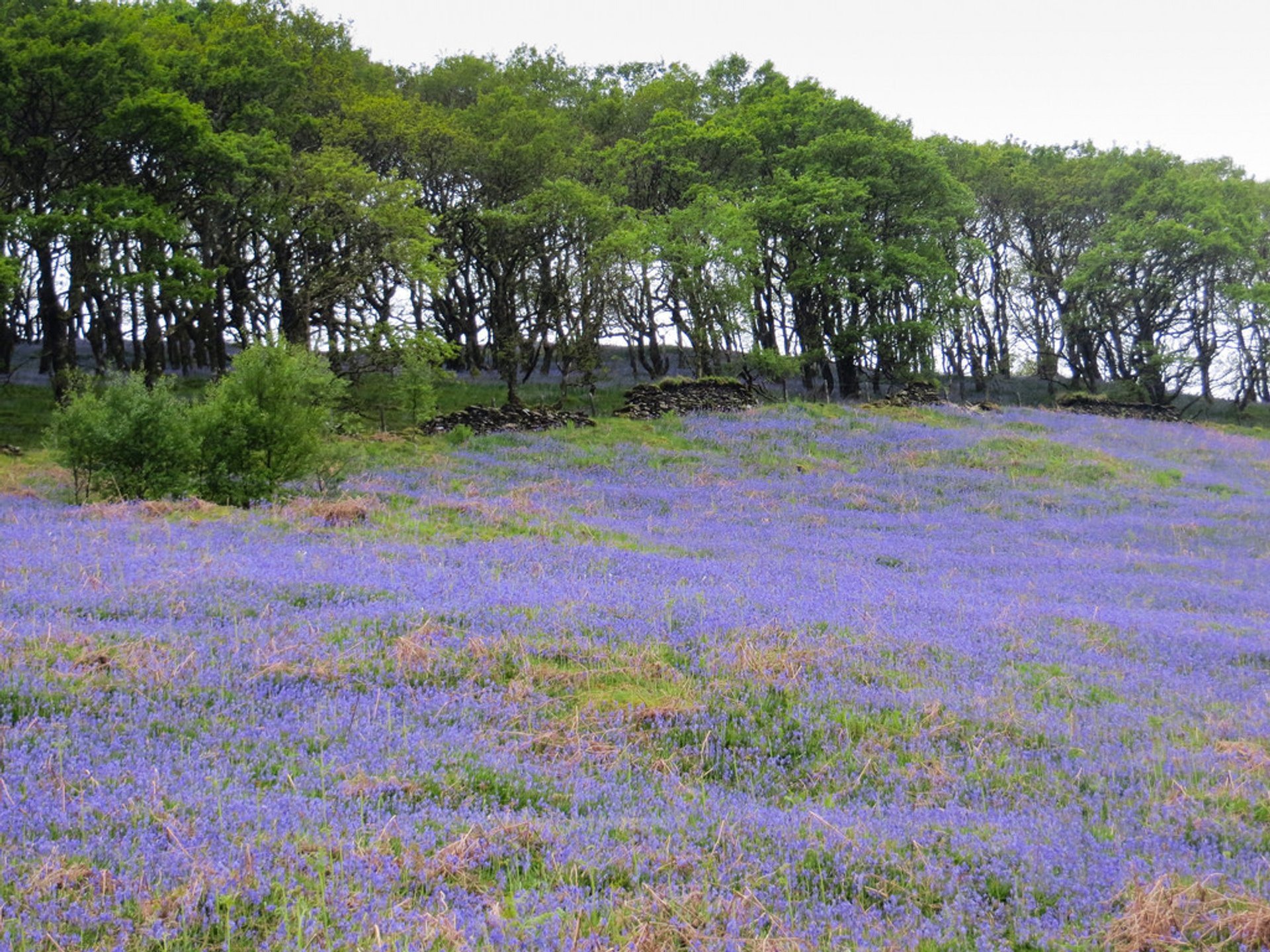 Best time for Bluebells in Bloom in Wales 2020
