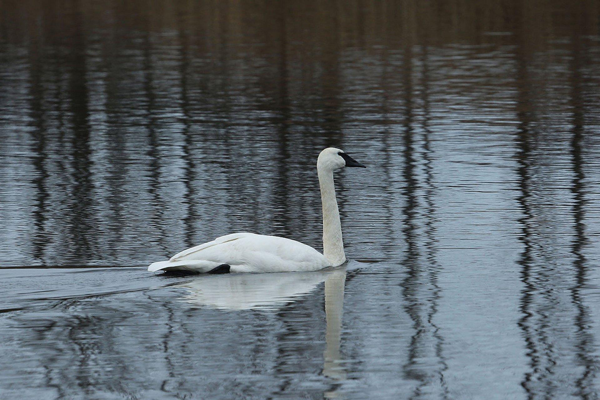 Wild Trumpeter Swans on the Olympic Peninsula, Washington 2020